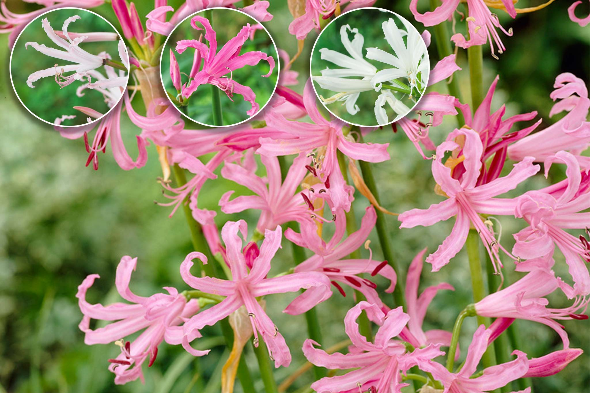 Nerines offer