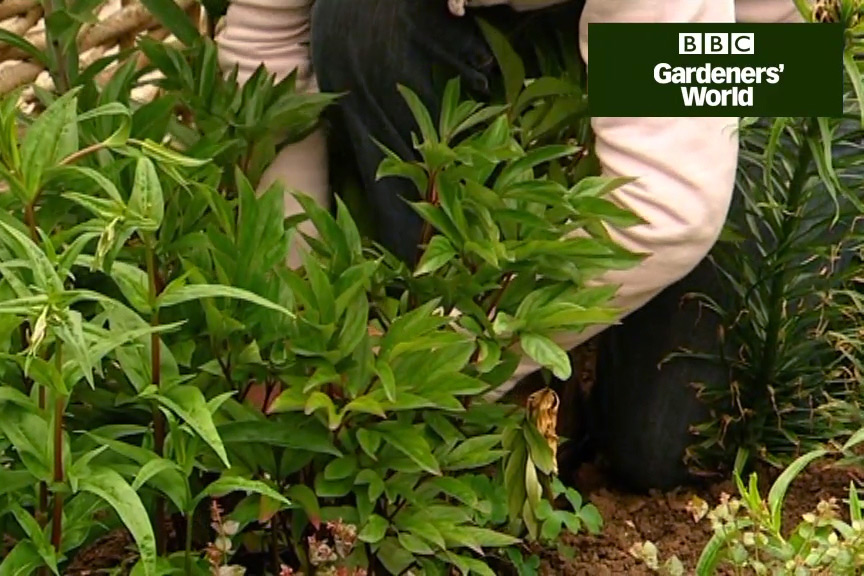 How to treat peony wilt video