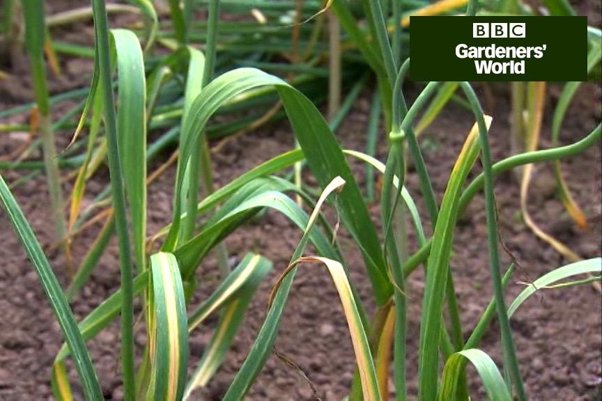 How to harvest garlic bulbs video