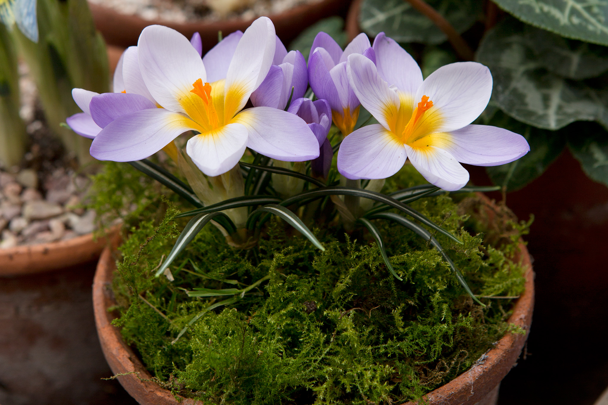 potted-crocus-topped-with-moss-2