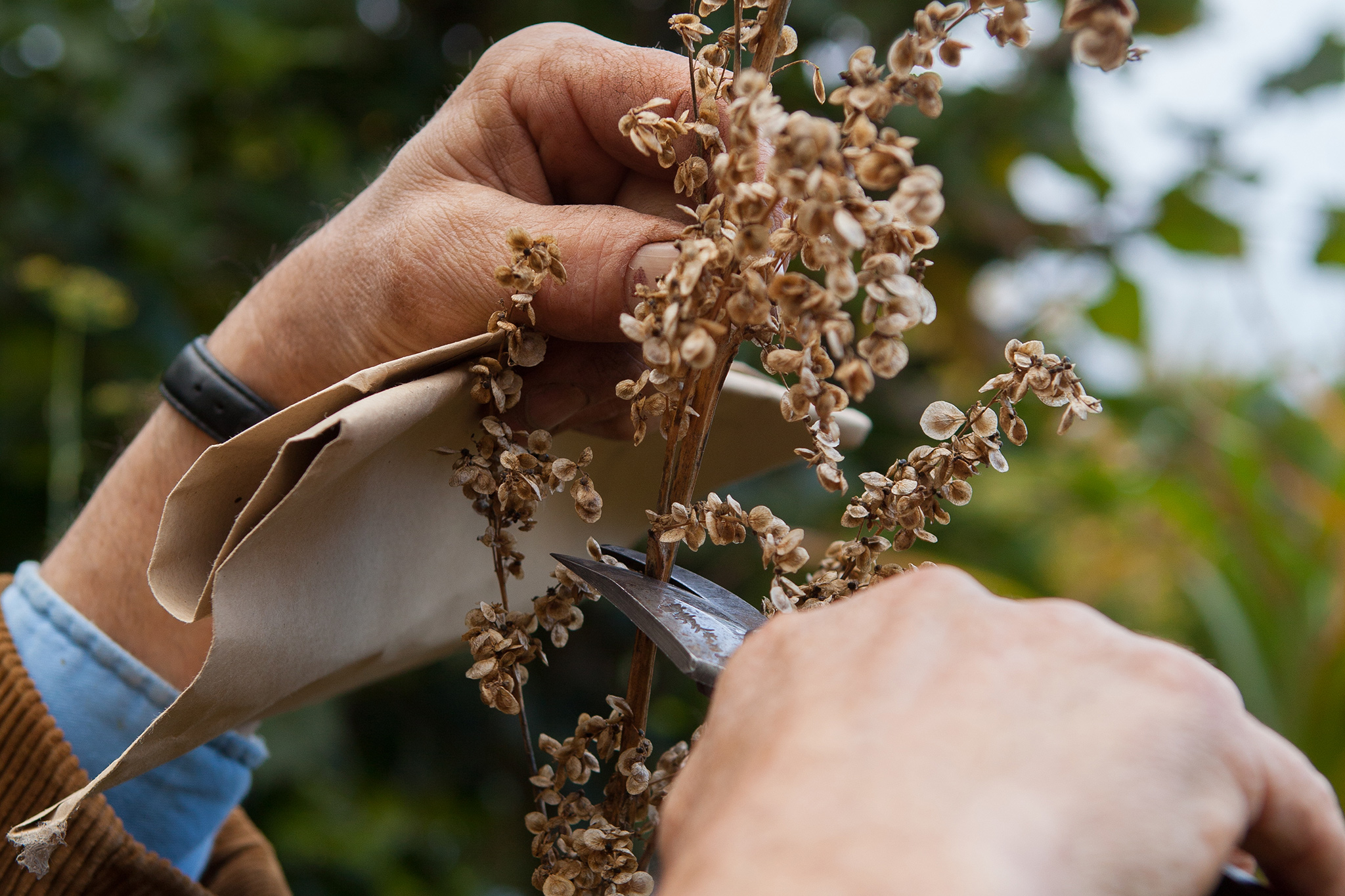 How to Collect Atriplex Seeds