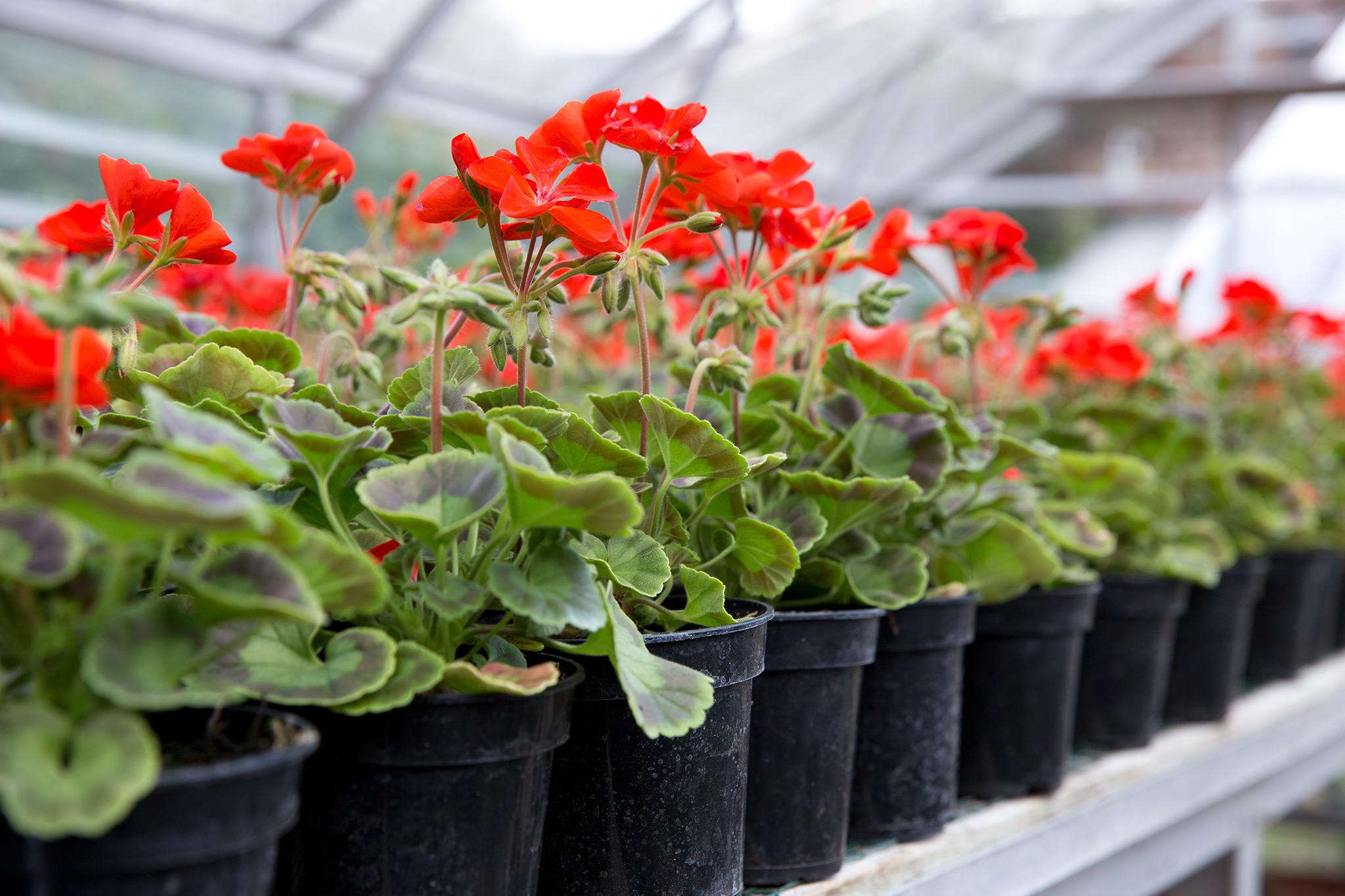 pelargoniums-grown-under-glass-2