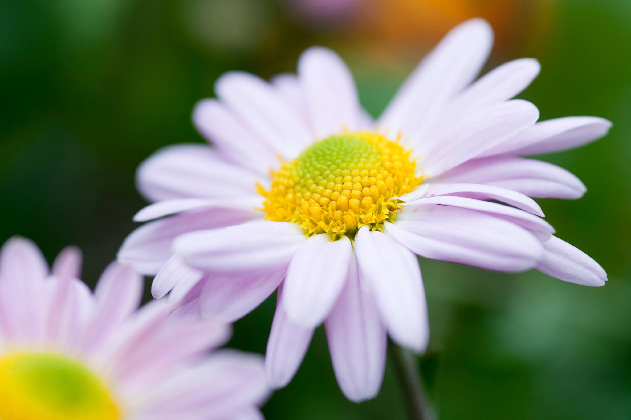 chrysanthemum-aunt-millicent-2