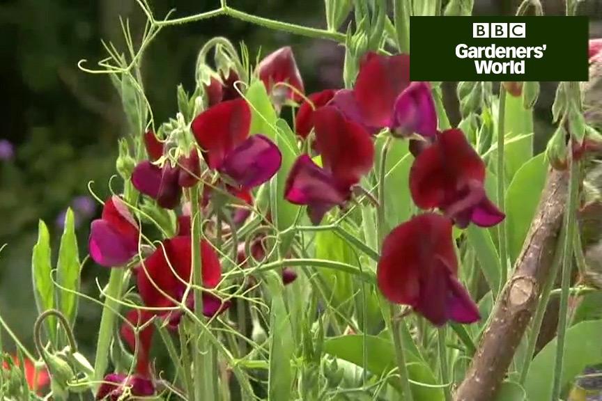 How to keep sweet peas flowering
