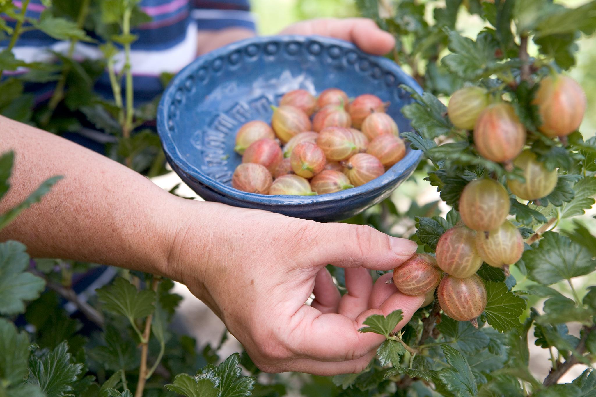 picking-gooseberries-3