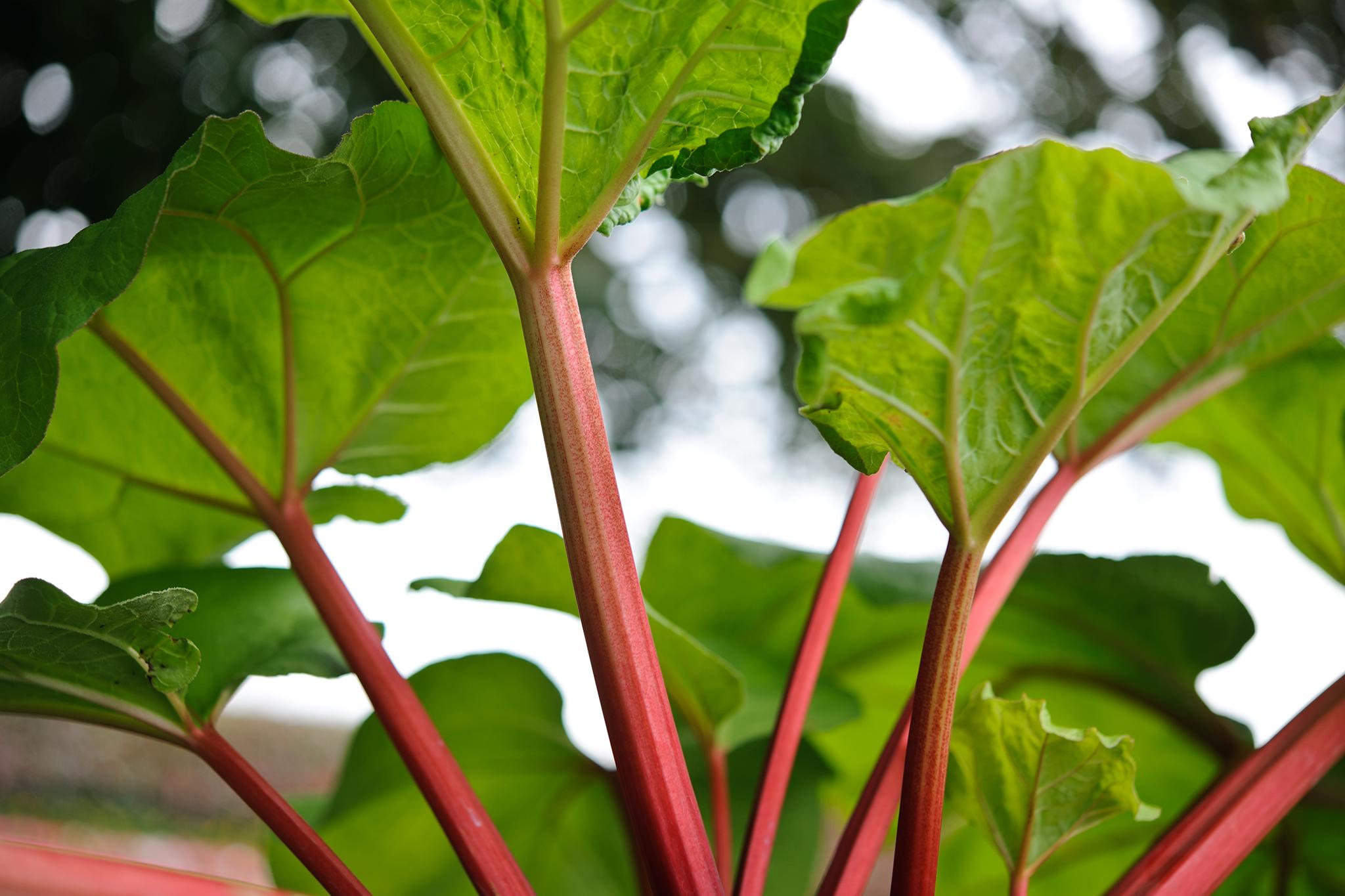 rhubarb-foliage-2
