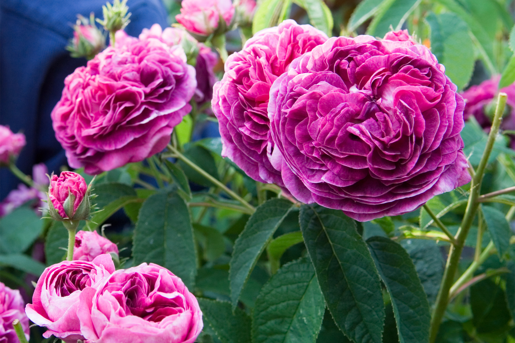 rosa-charles-de-mills-5