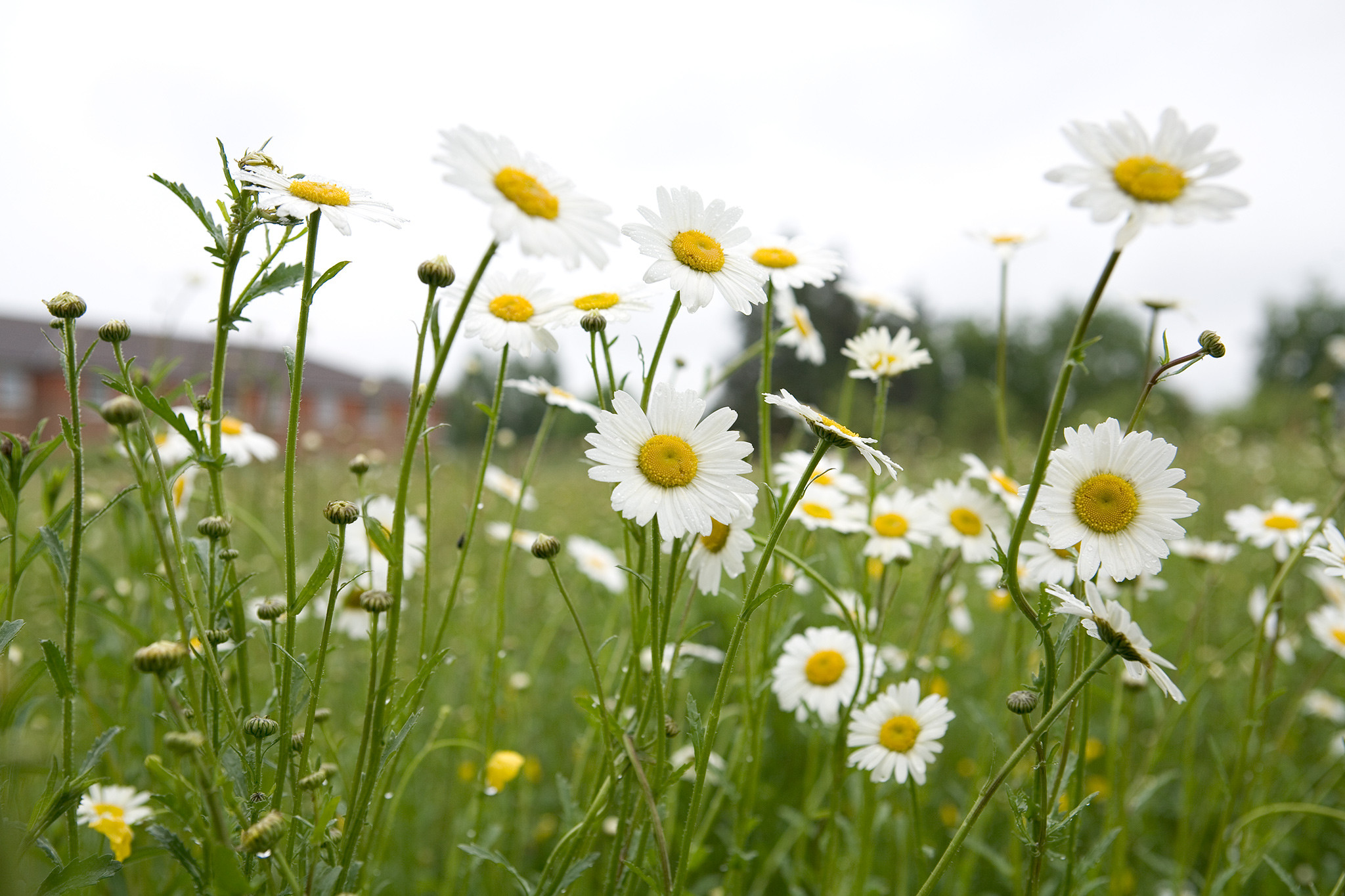 Ox-eye daisy. Leucanthemum vulgare.