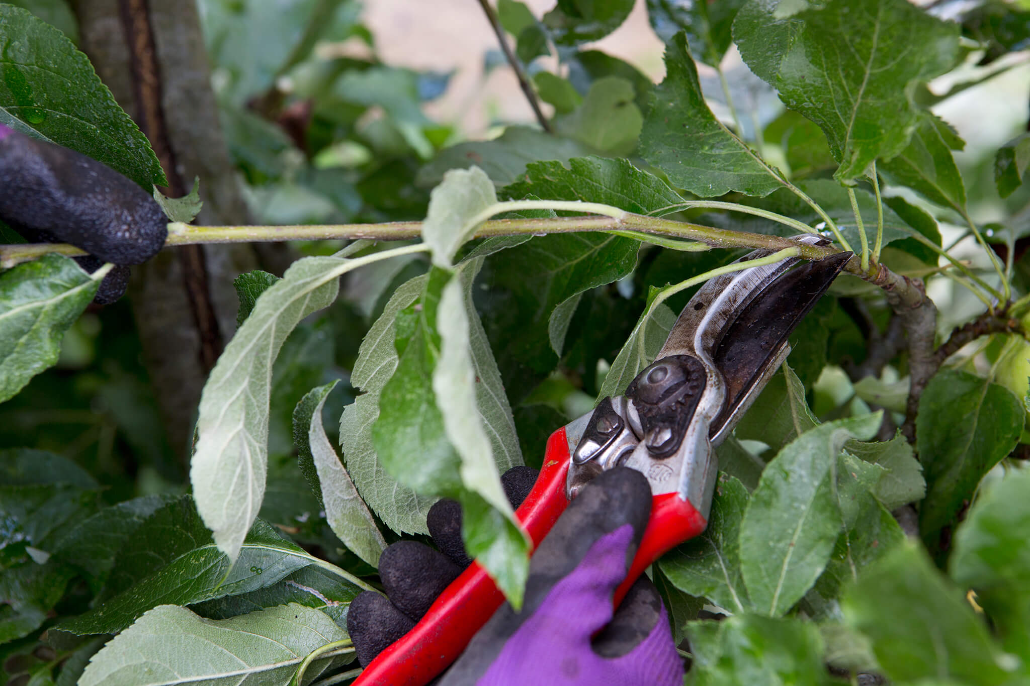 Cutting back apple tree sideshoots