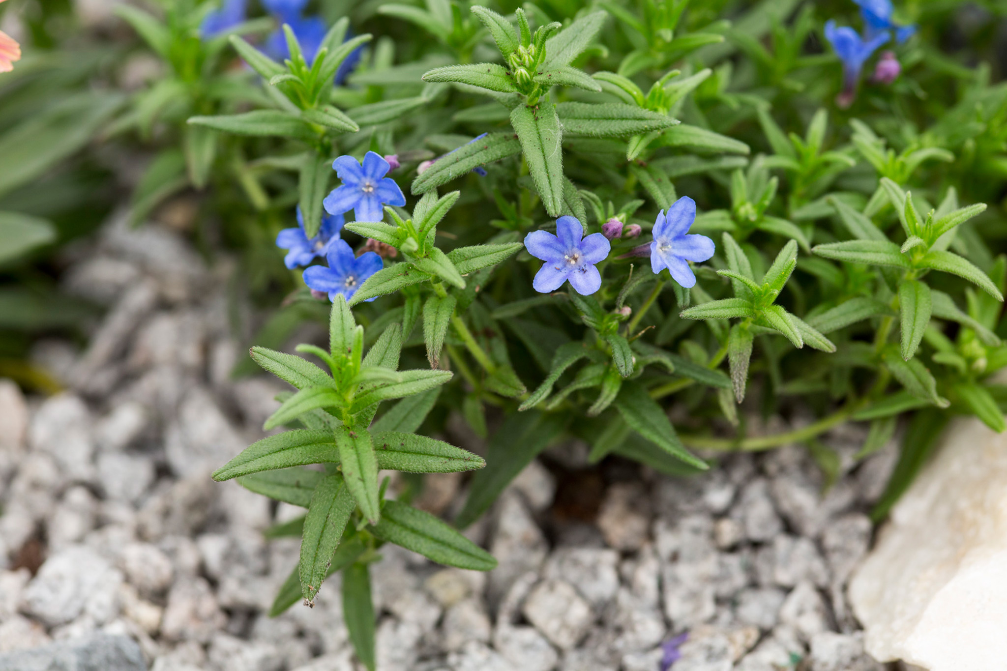 lithodora-diffusa-heavenly-blue-2