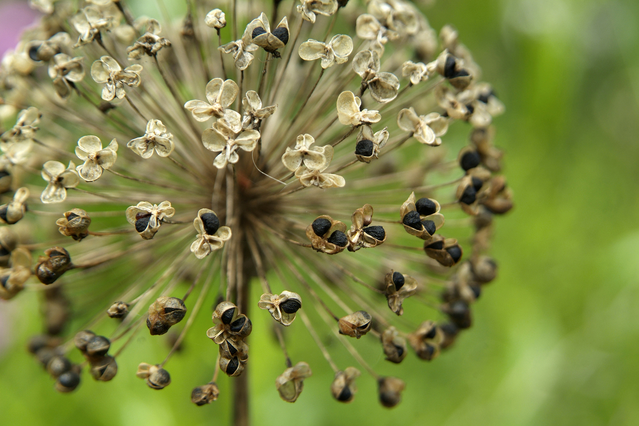 Collect Allium Seeds