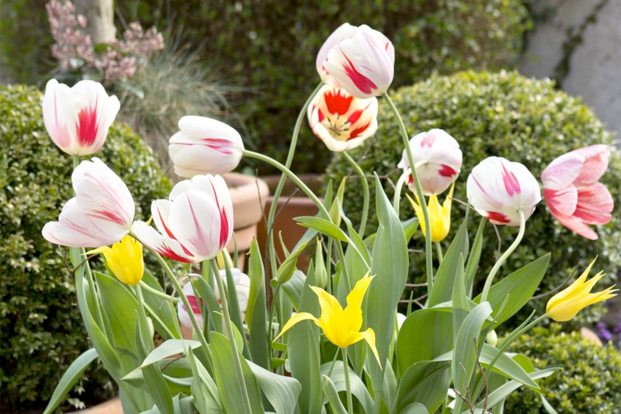 red-white-and-yellow-tulip-display-3