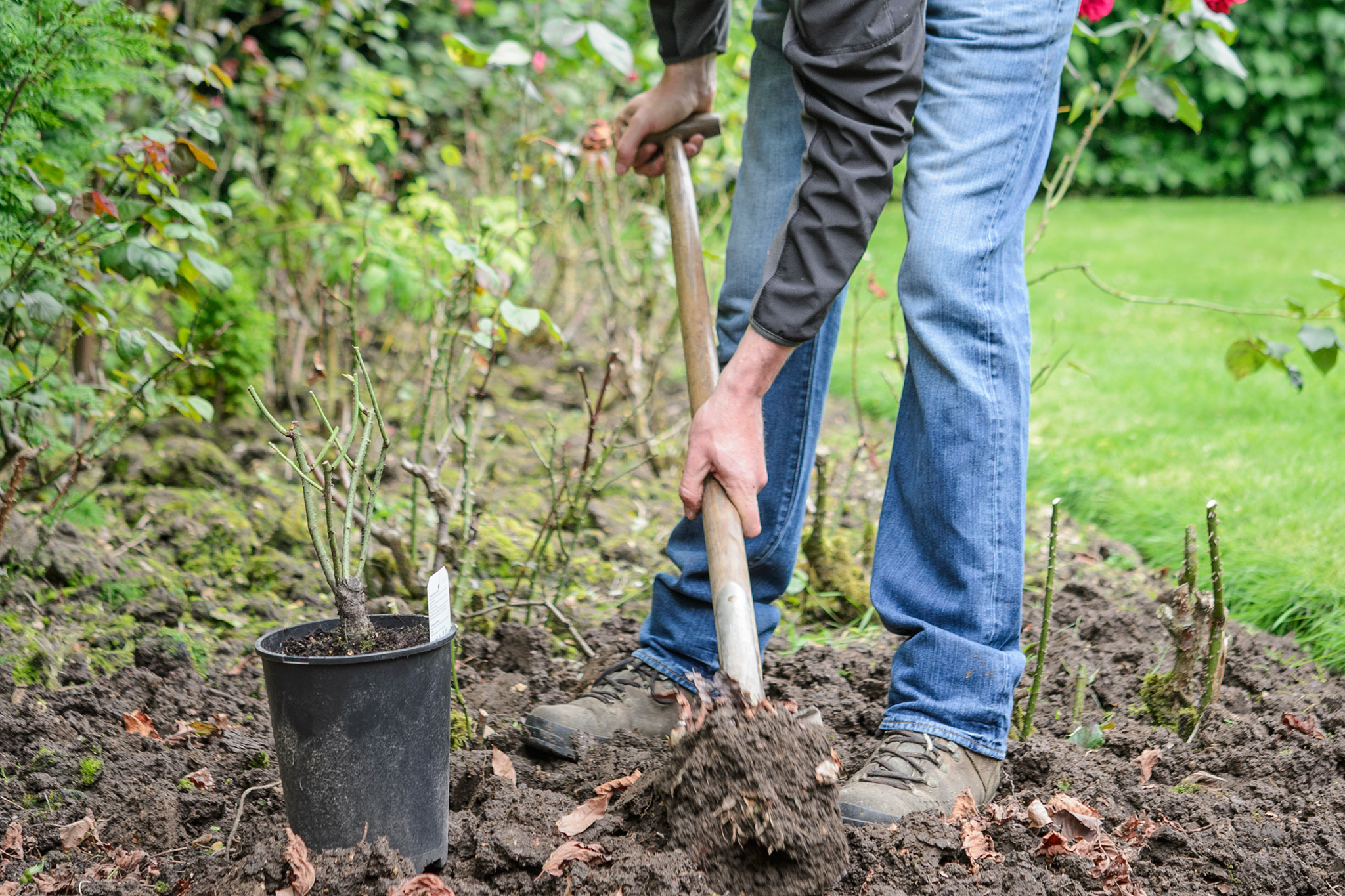 How to Plant a Potted Rose
