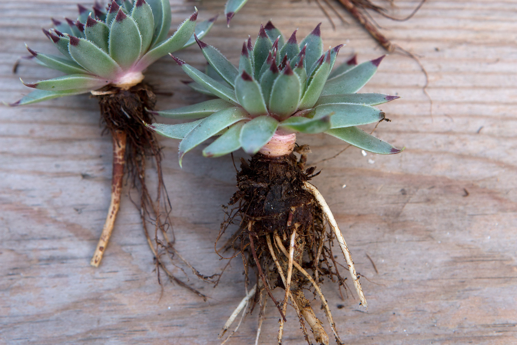 propagating-succulents-2