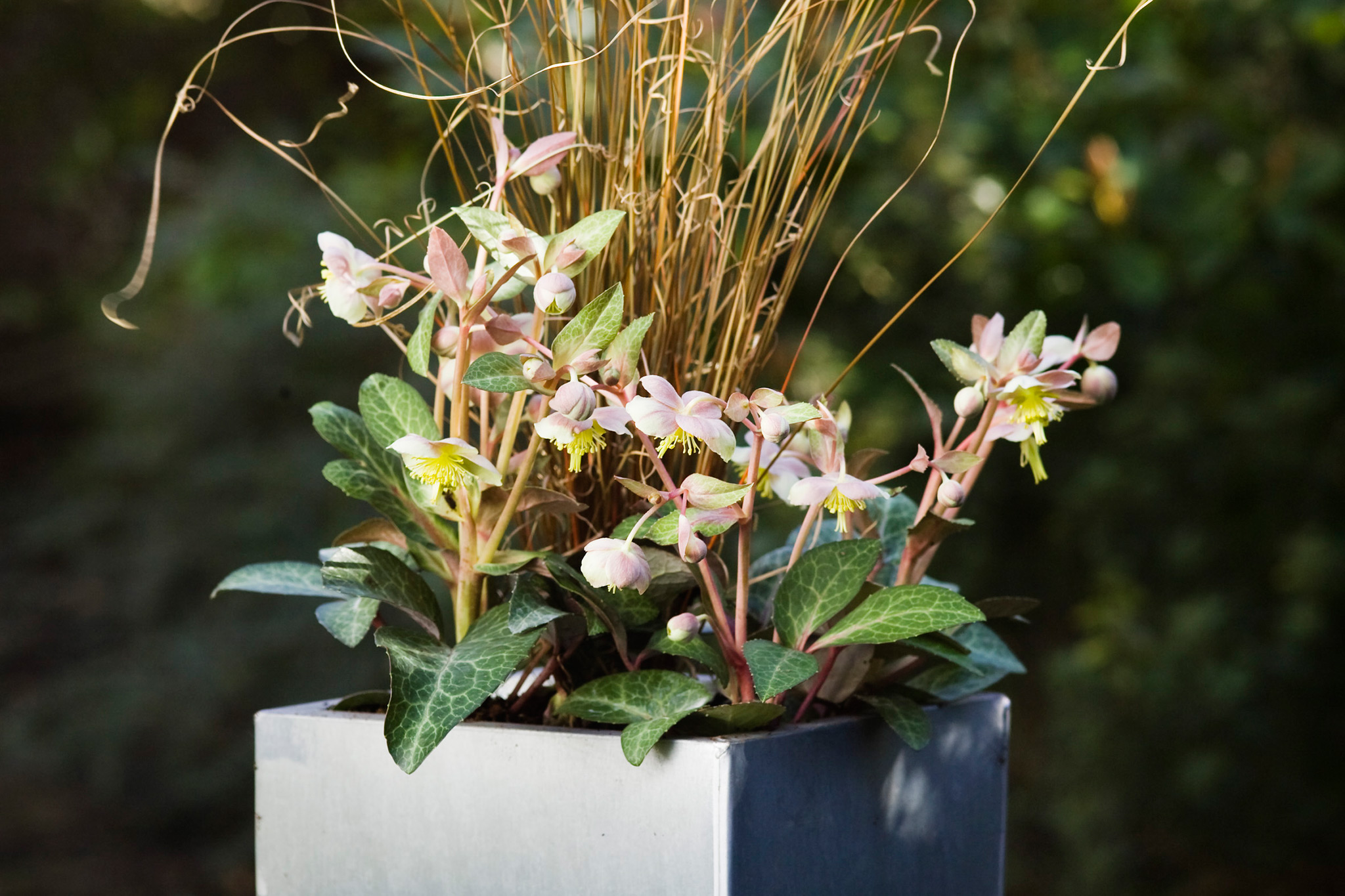 Hellebore and carex container display