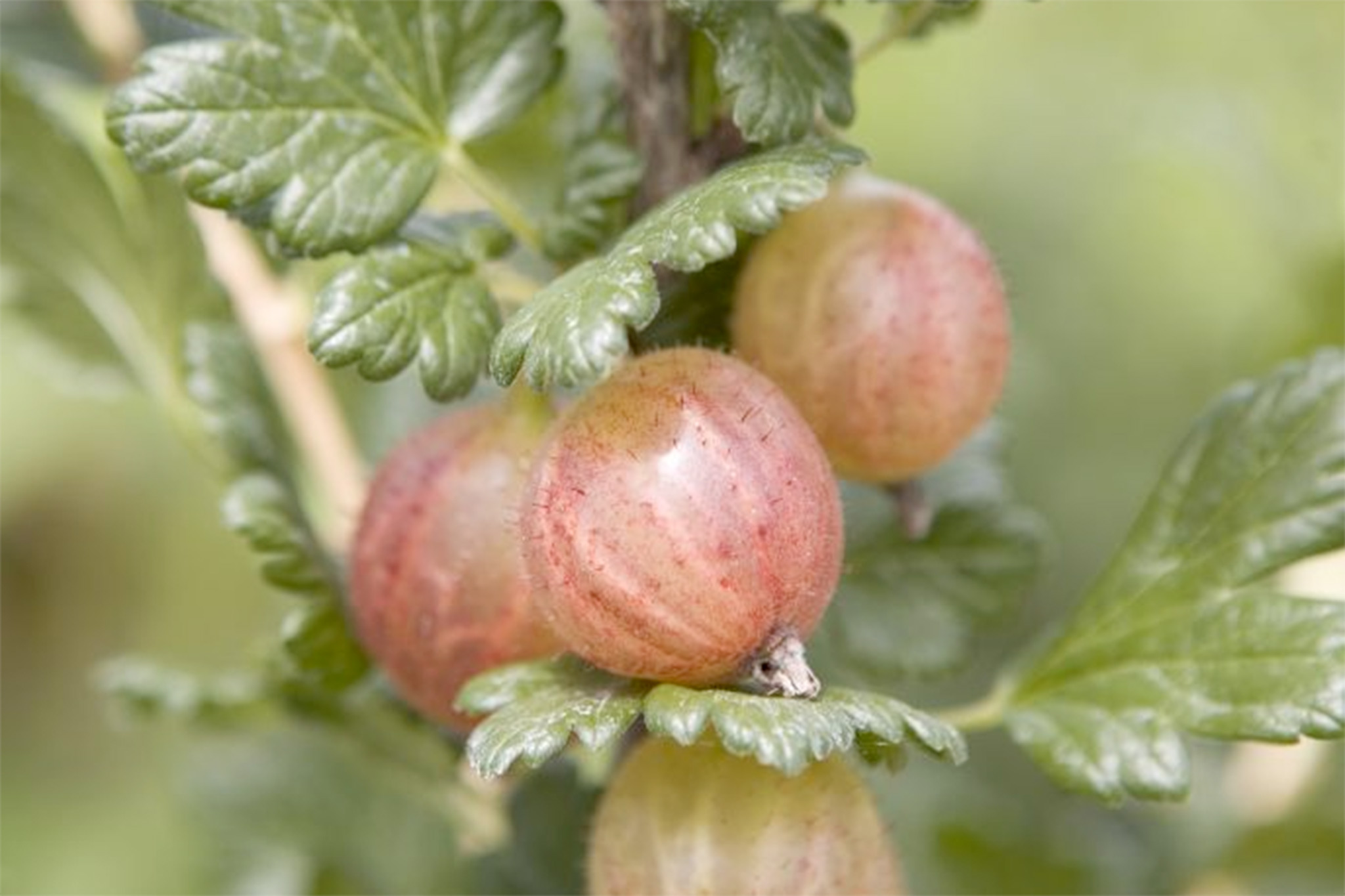 growing-gooseberries-in-pots-2