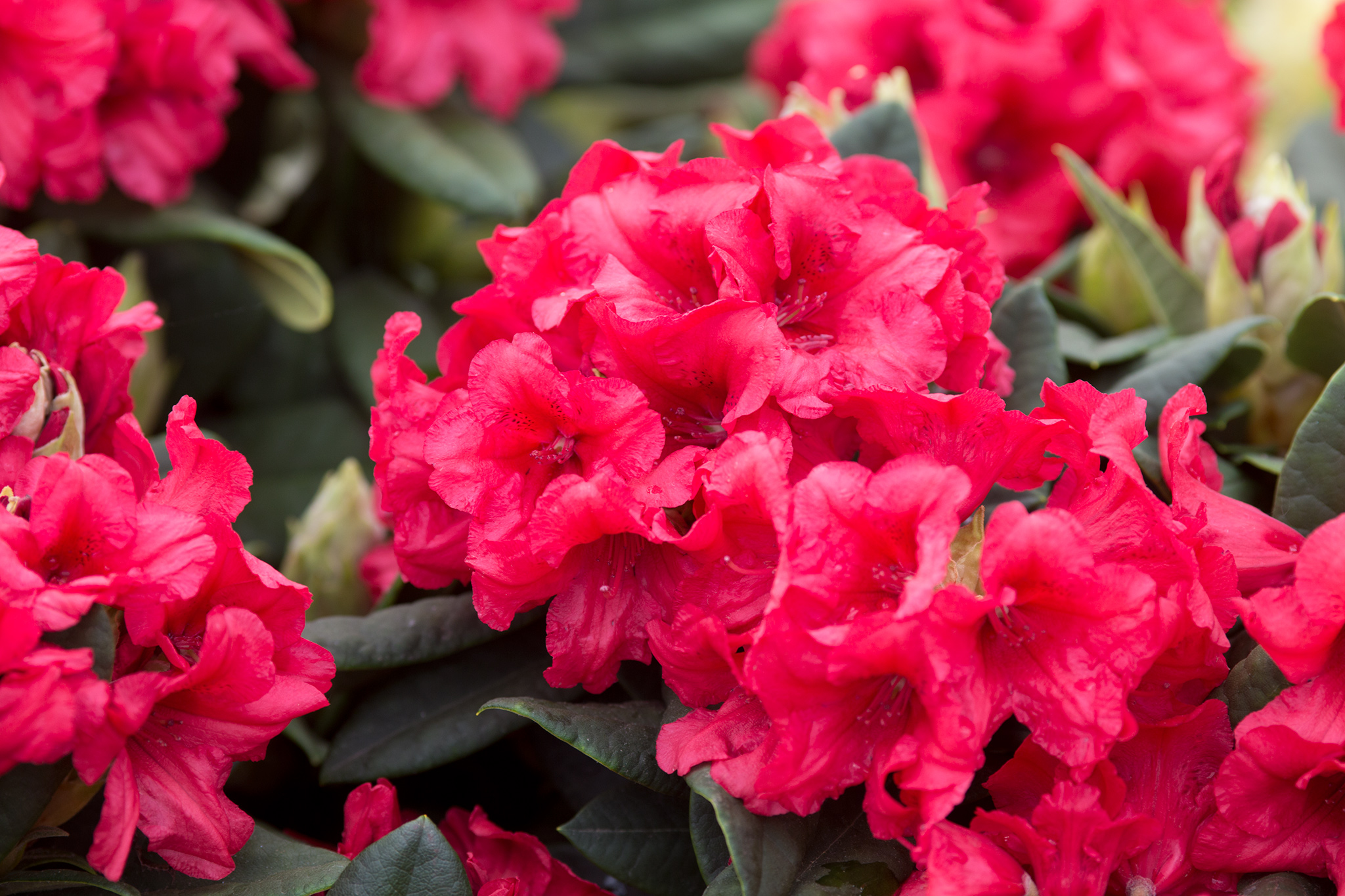 rhododendron-dopey-millais-3