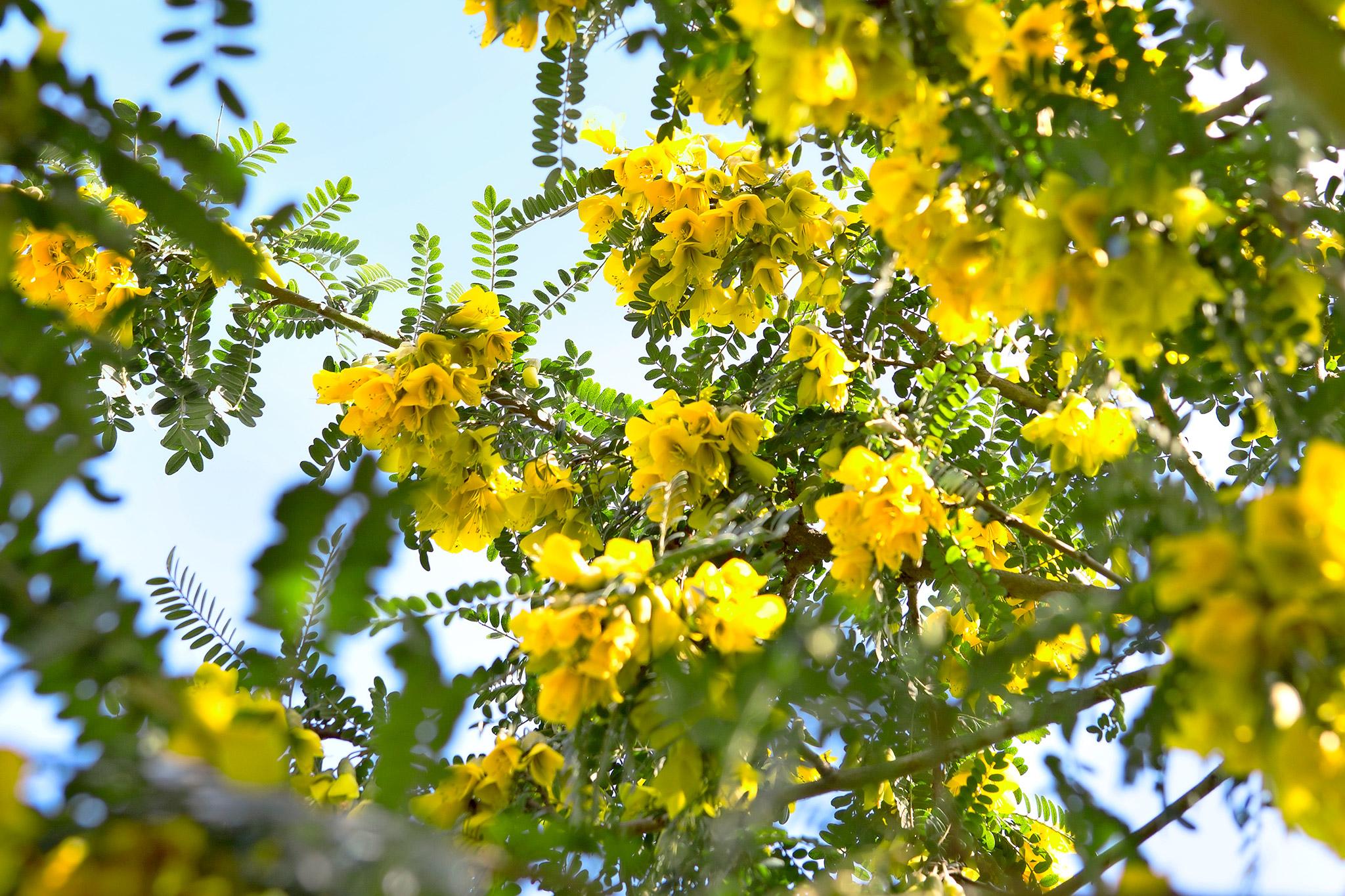 sophora-microphylla-2