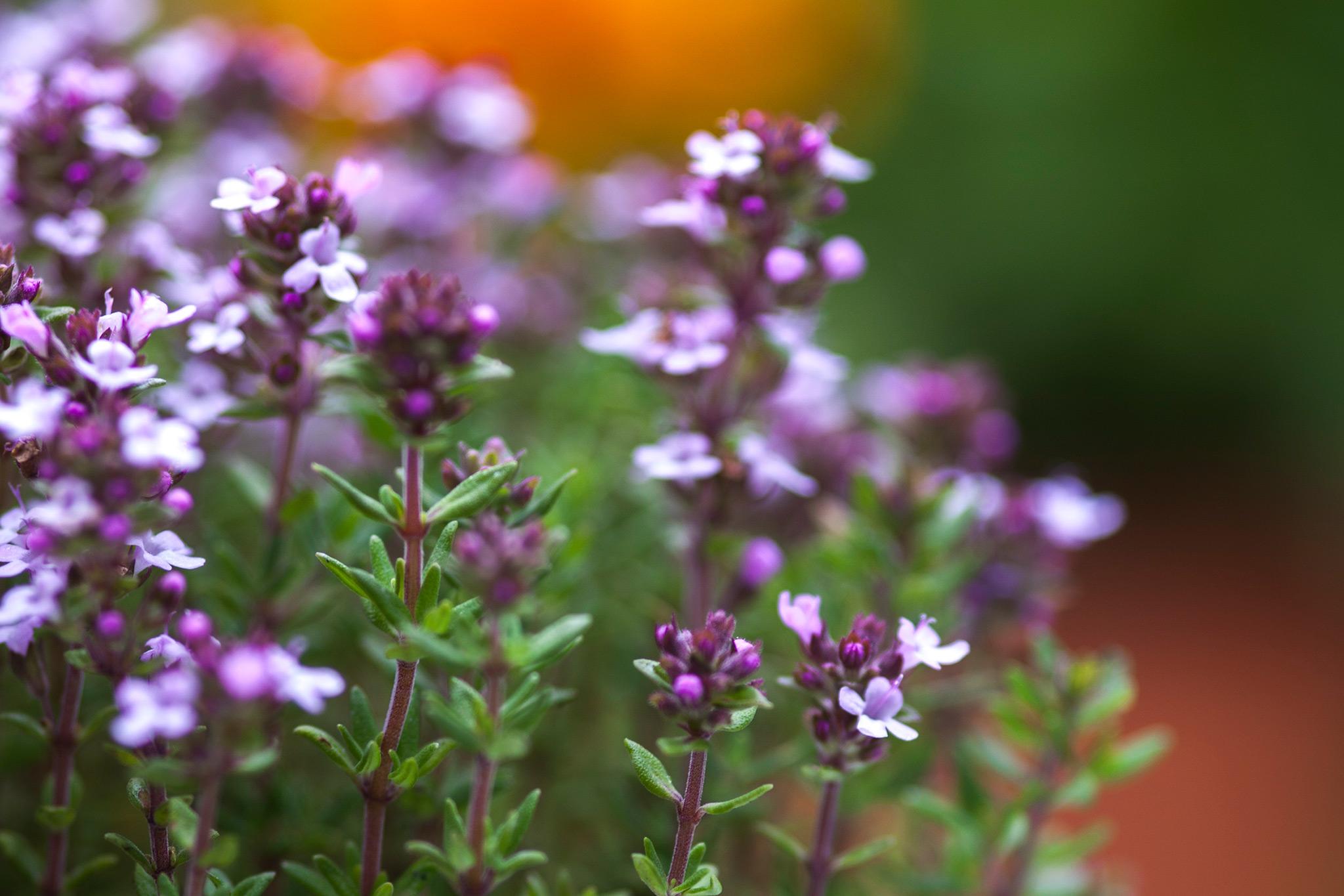 thymus-vulgaris-4