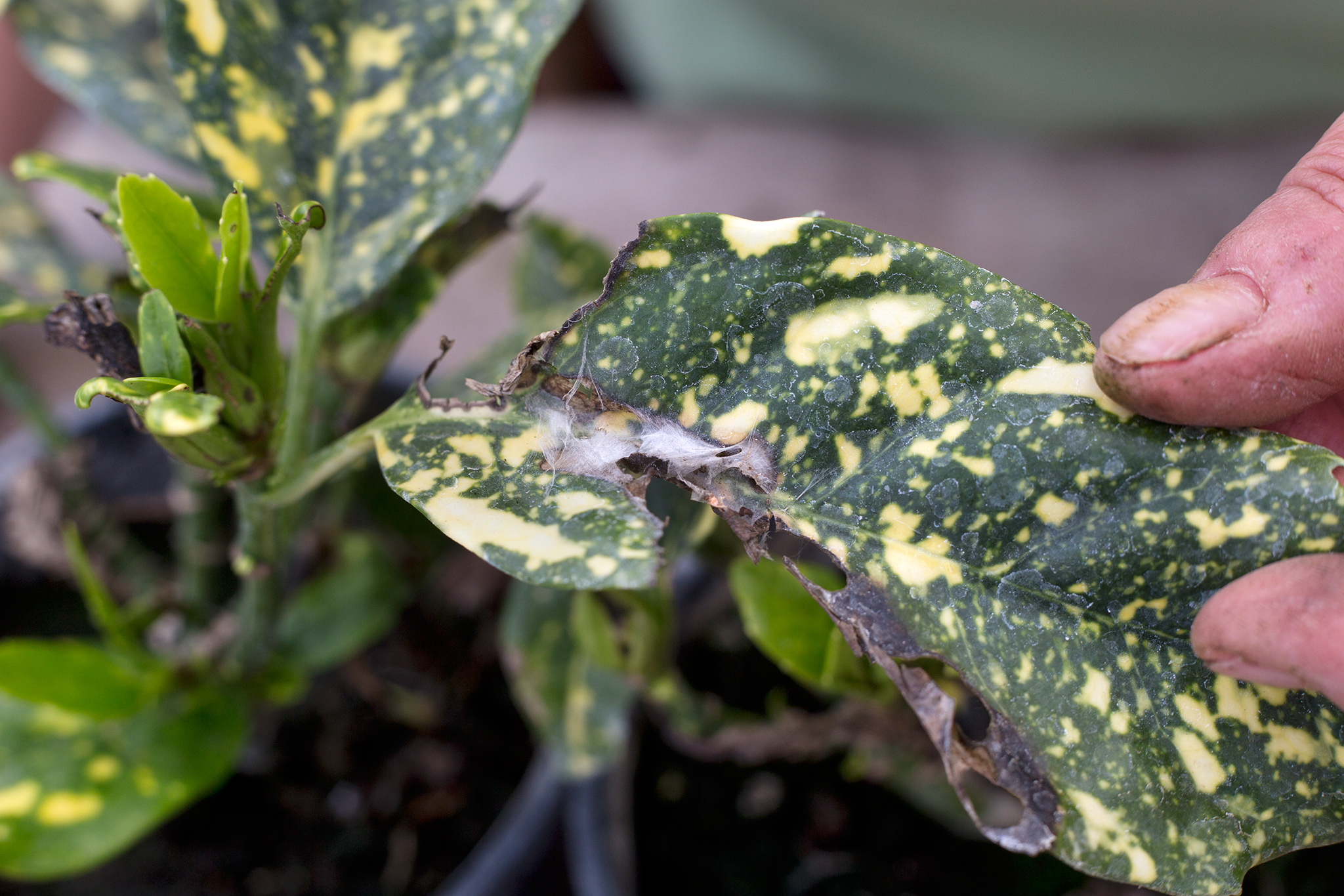 damage-to-leaves-tortrix-moth-2