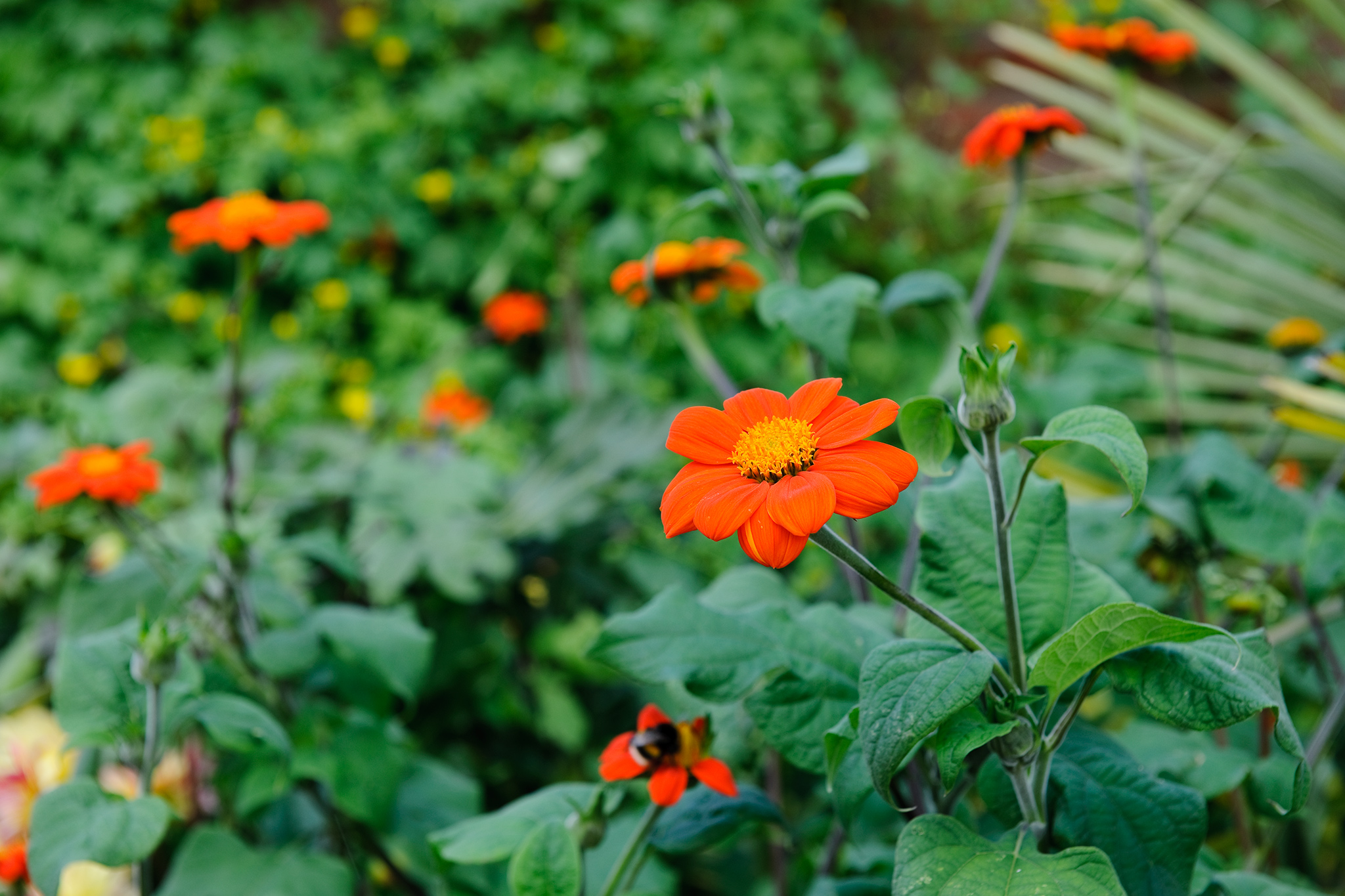 mexican-sunflower-tithonia-2