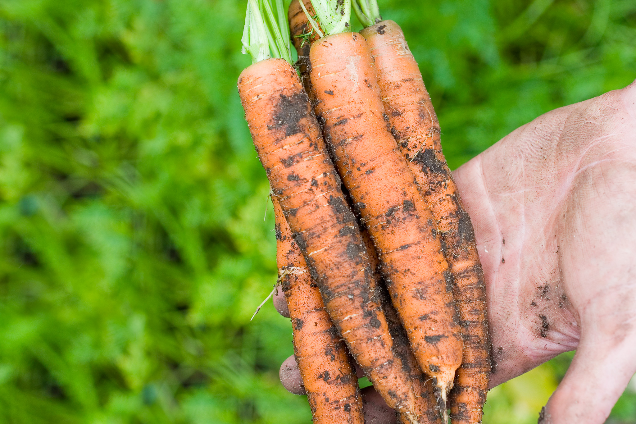 choose-resistant-carrot-varieties-2