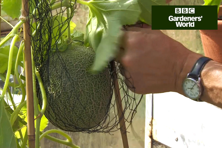 Monty Don's outdoor melon trial (part three) video