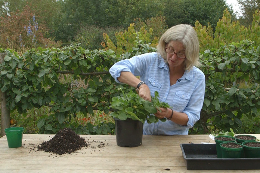 Taking pelargonium cuttings NFG video