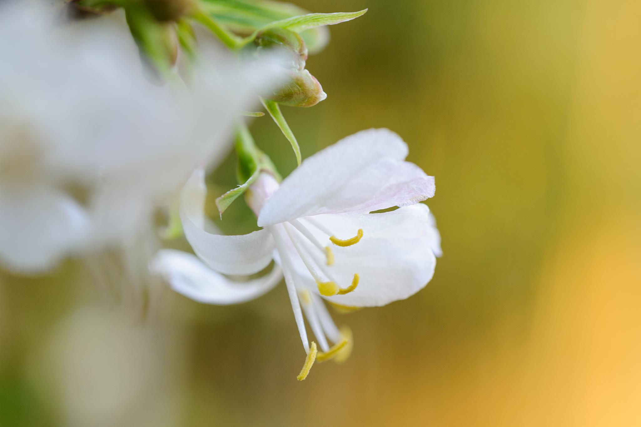 winter-honeysuckle-lonicera-fragrantissima-2