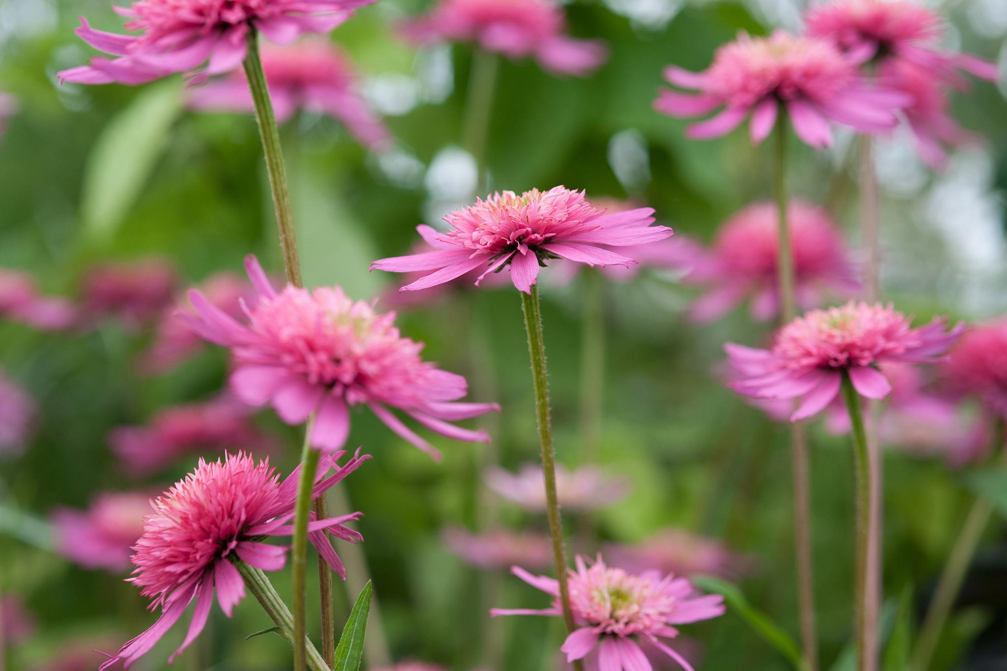 Best Plants With Pink Flowers Gardenersworld