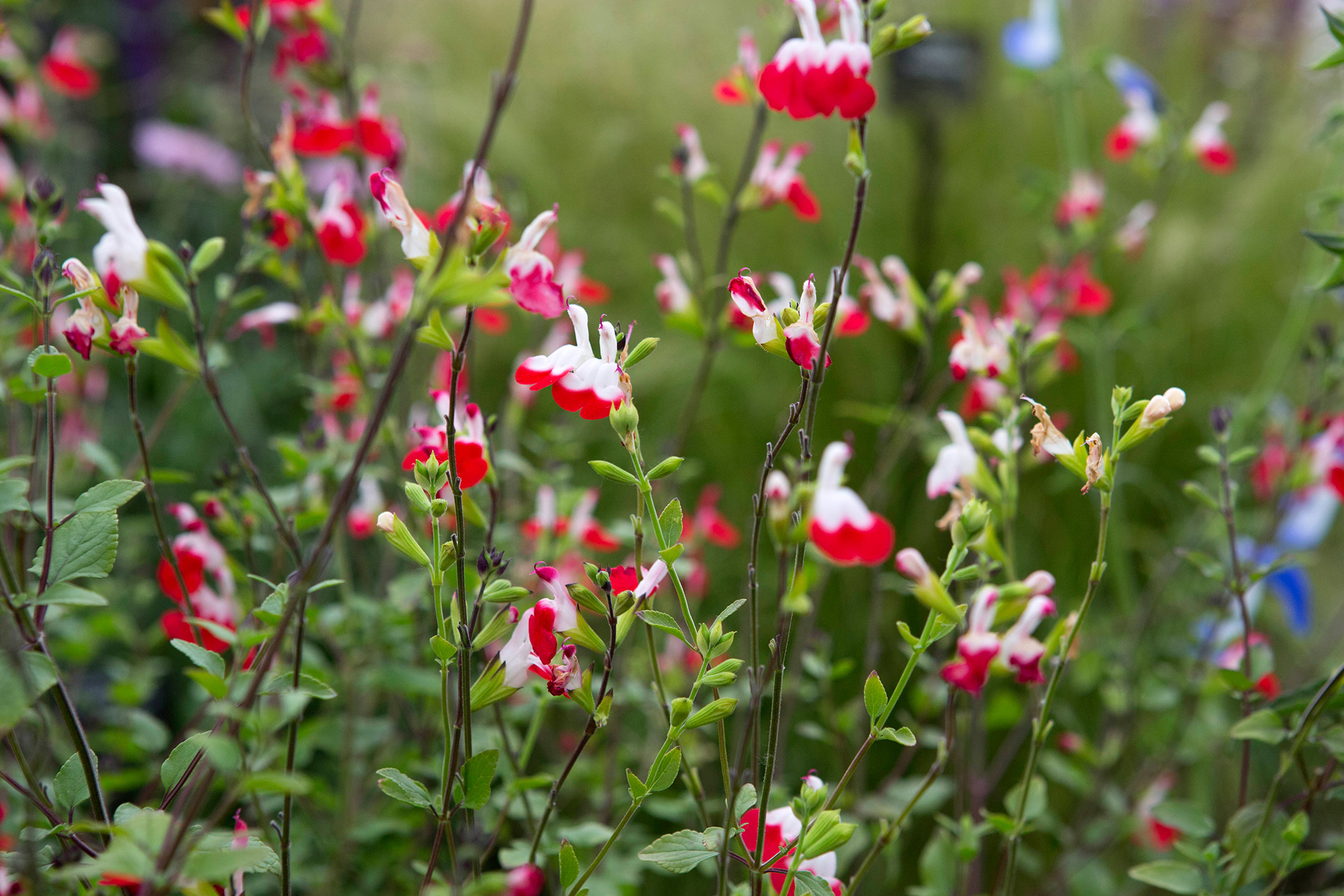 10 Plants With Scented Foliage Gardenersworld