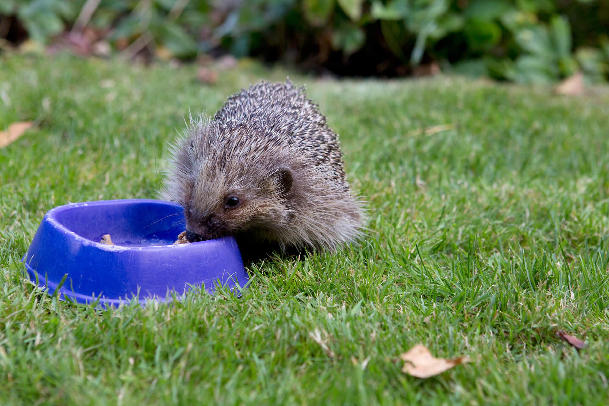 hedgehog-eating-2