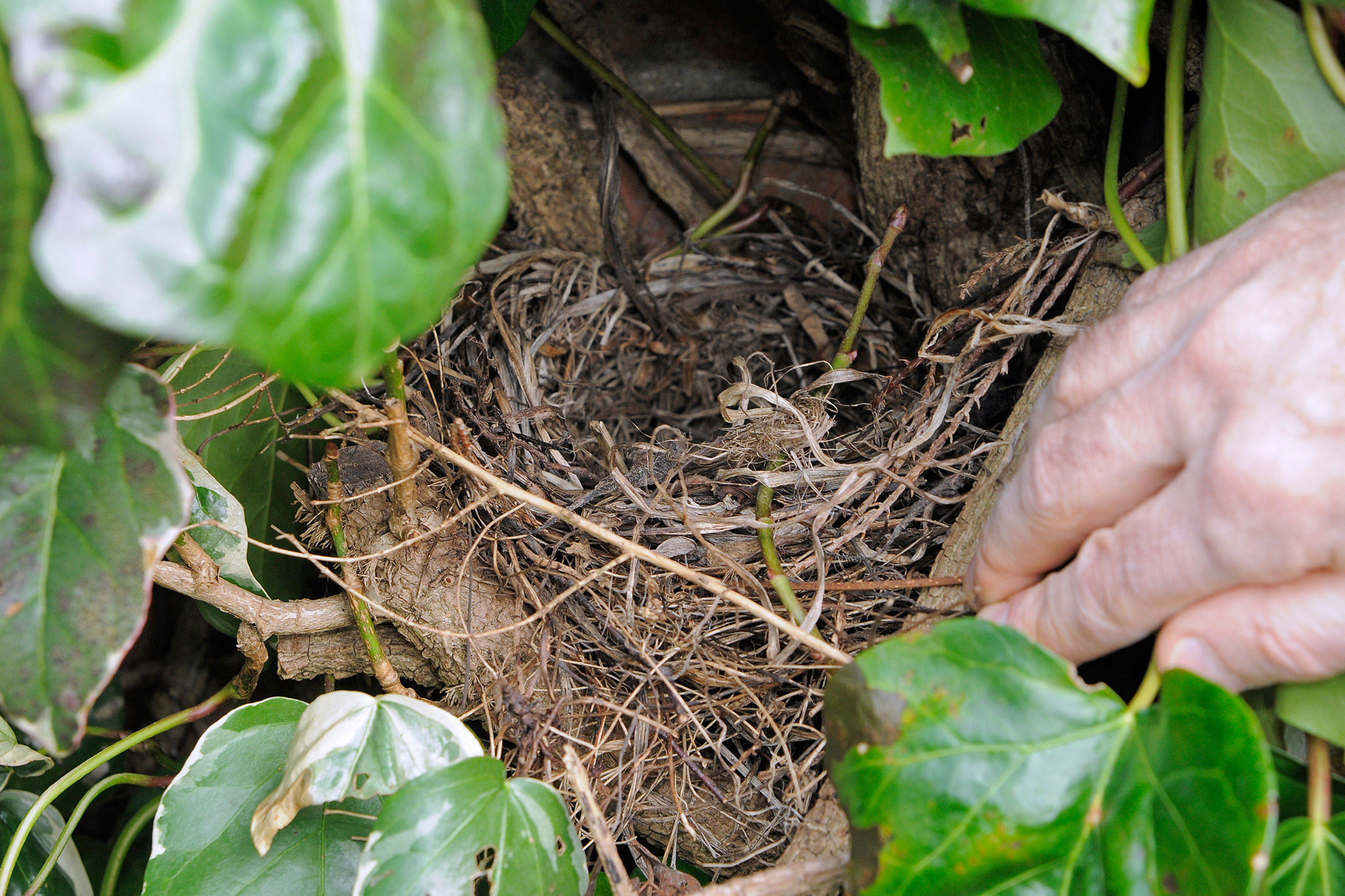 bird-nest-in-a-hedge-2