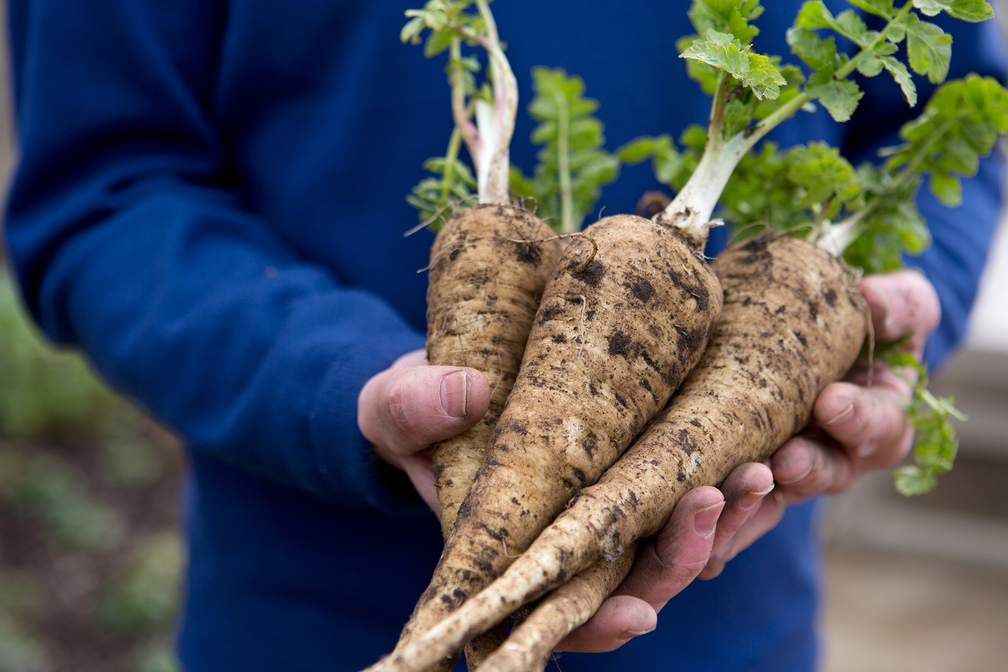 bunch-of-parsnips-2