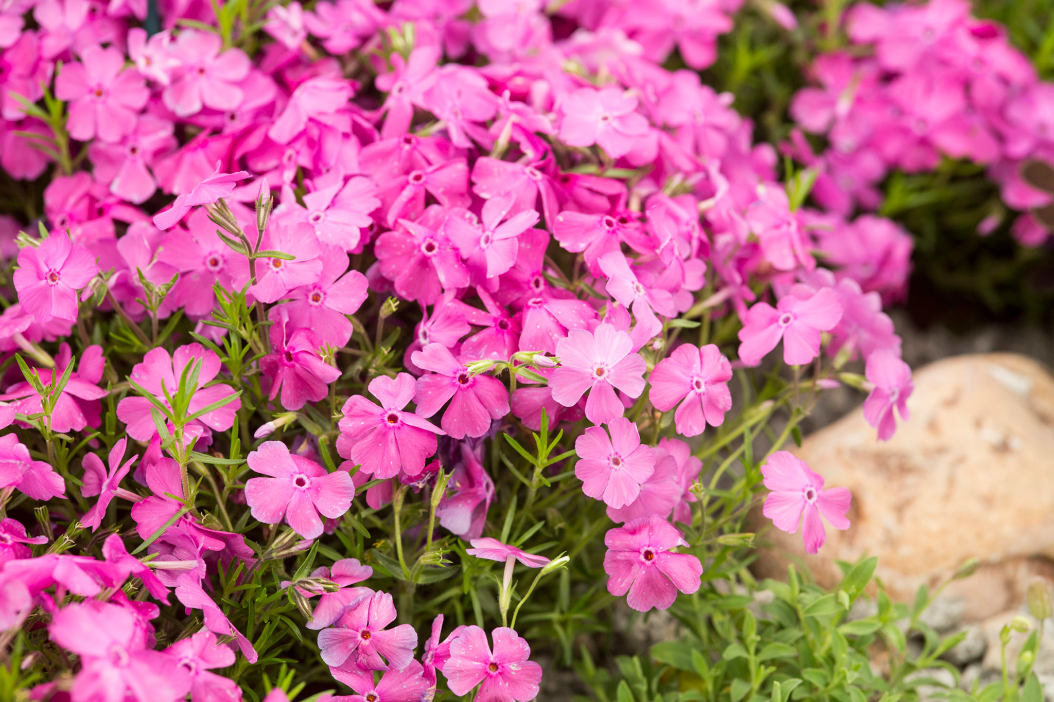 phlox-subulata-mcdaniels-cushion-2