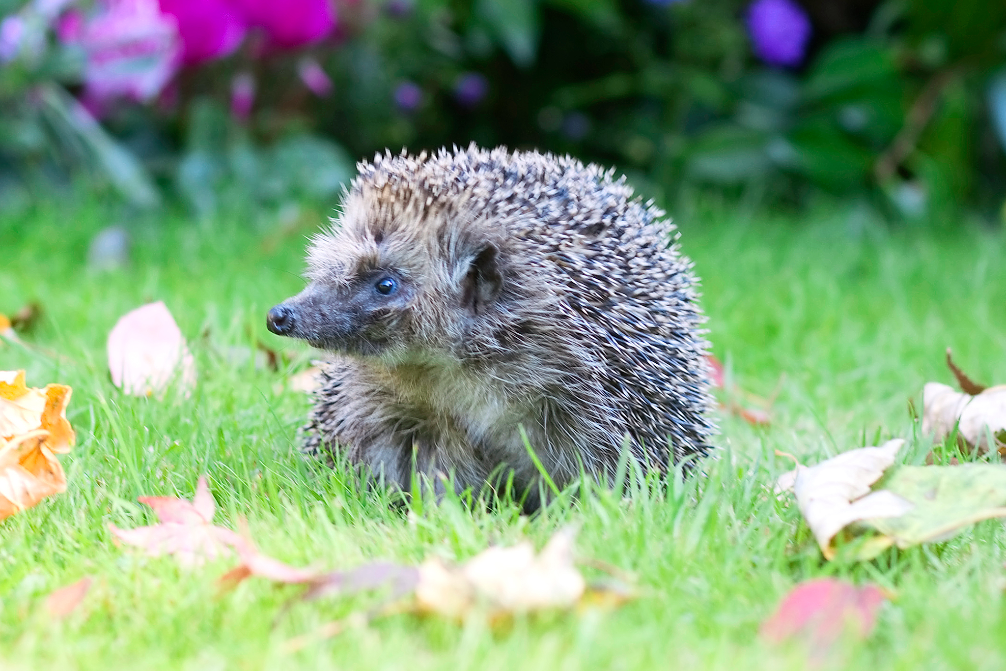 hedgehog-on-lawn-2