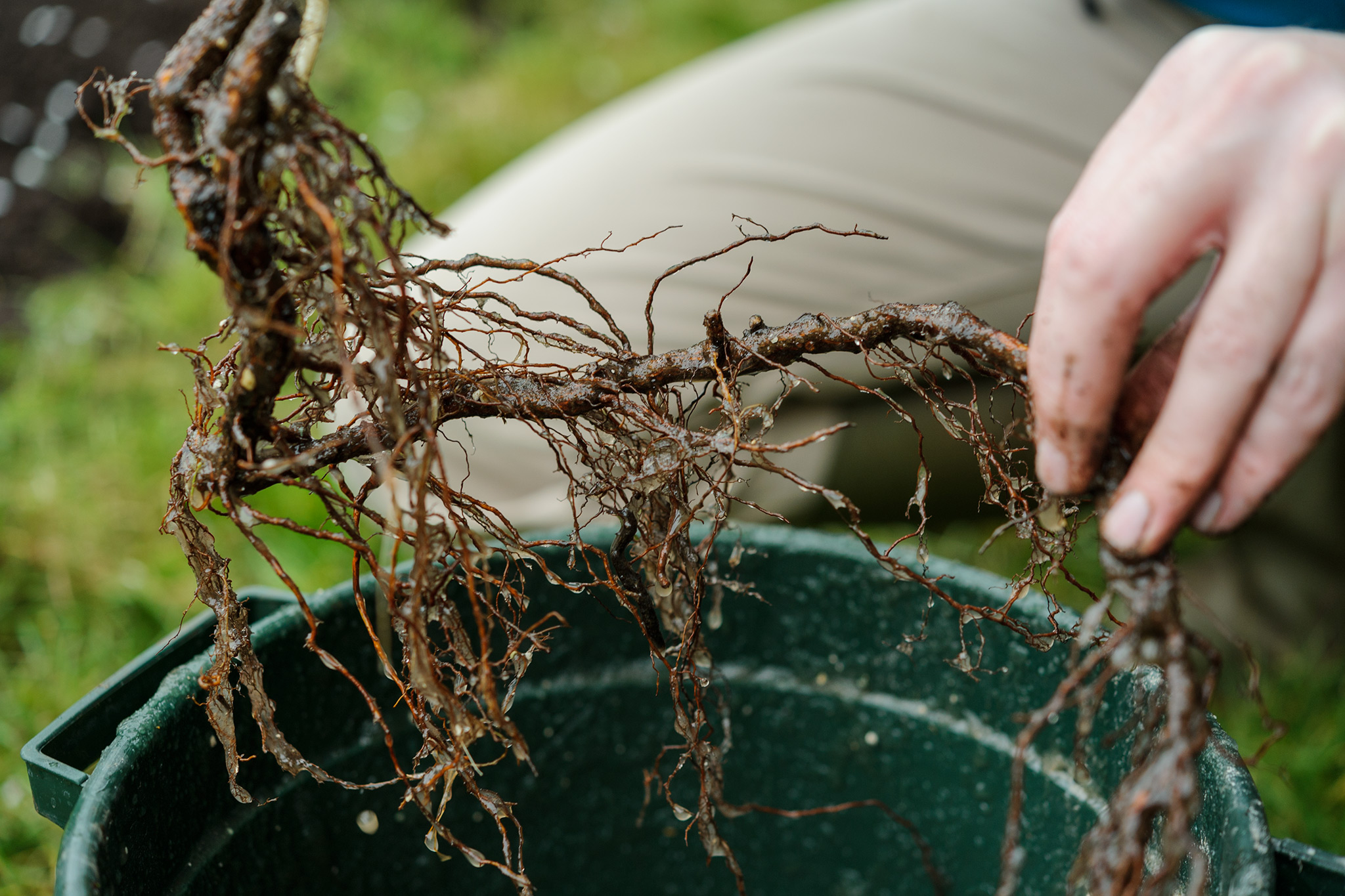 wetting-roots-of-a-raspberry-cane-before-planting-2