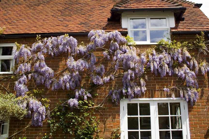 Will wisteria damage our foundations
