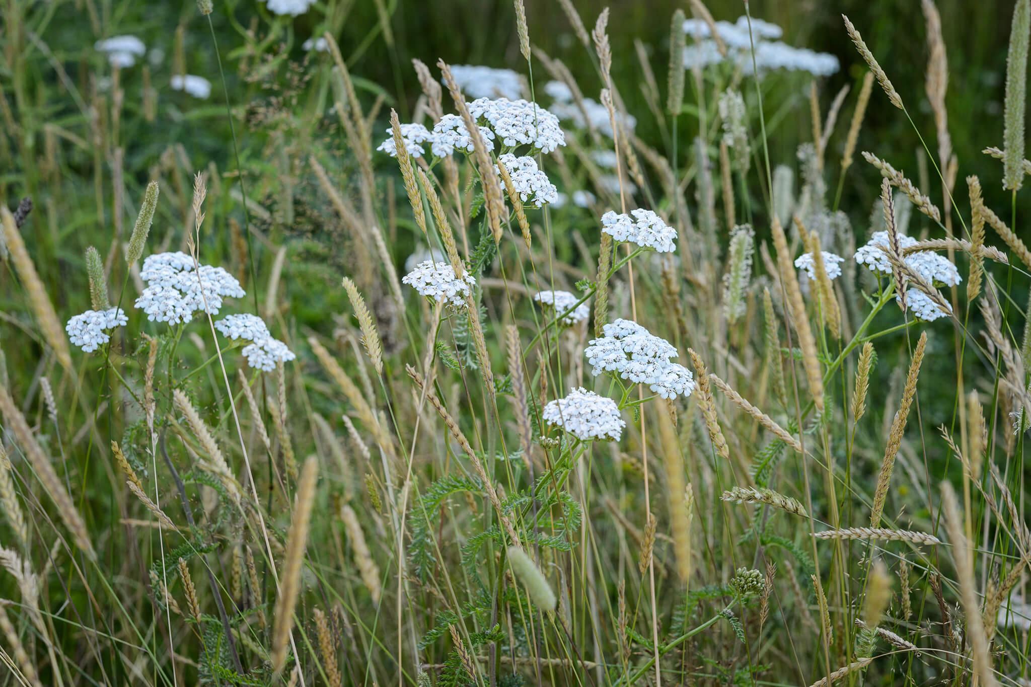 yarrow-achillea-millefolium-2