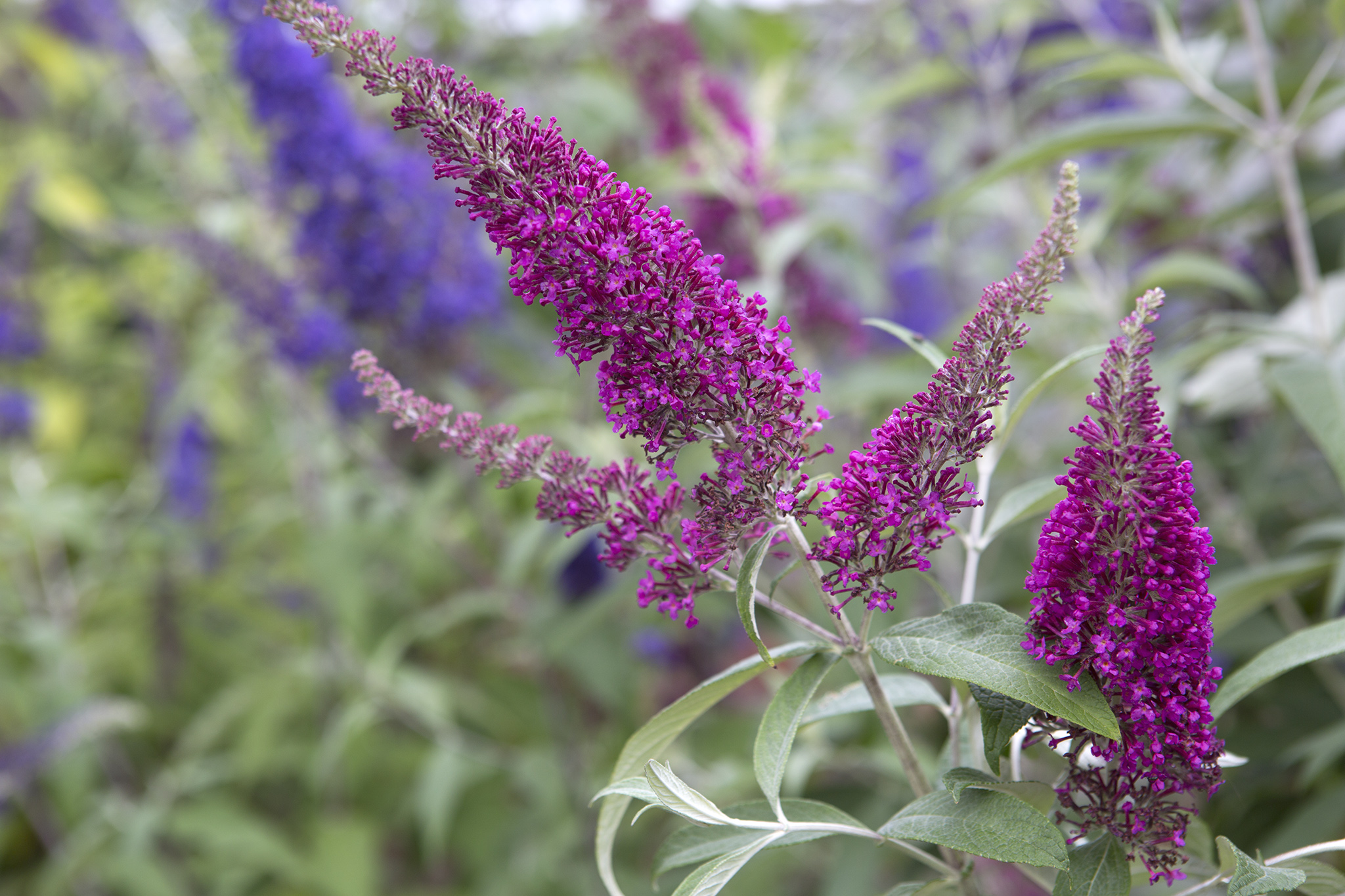 buddleja-davidii-summer-beauty-3