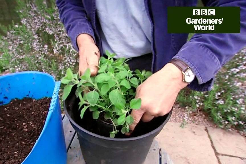 How to grow peppermint and thyme in a pot video