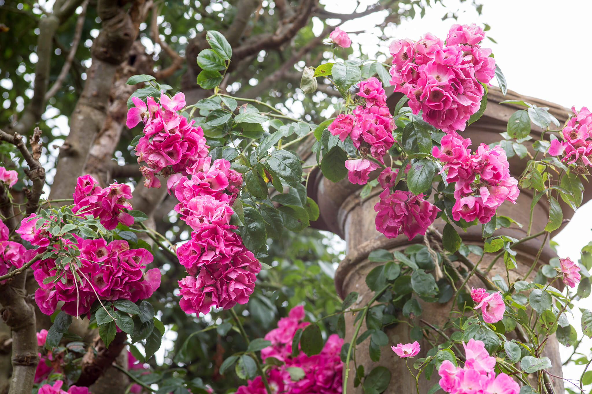 rambler-rose-growing-on-stone-pillar-2