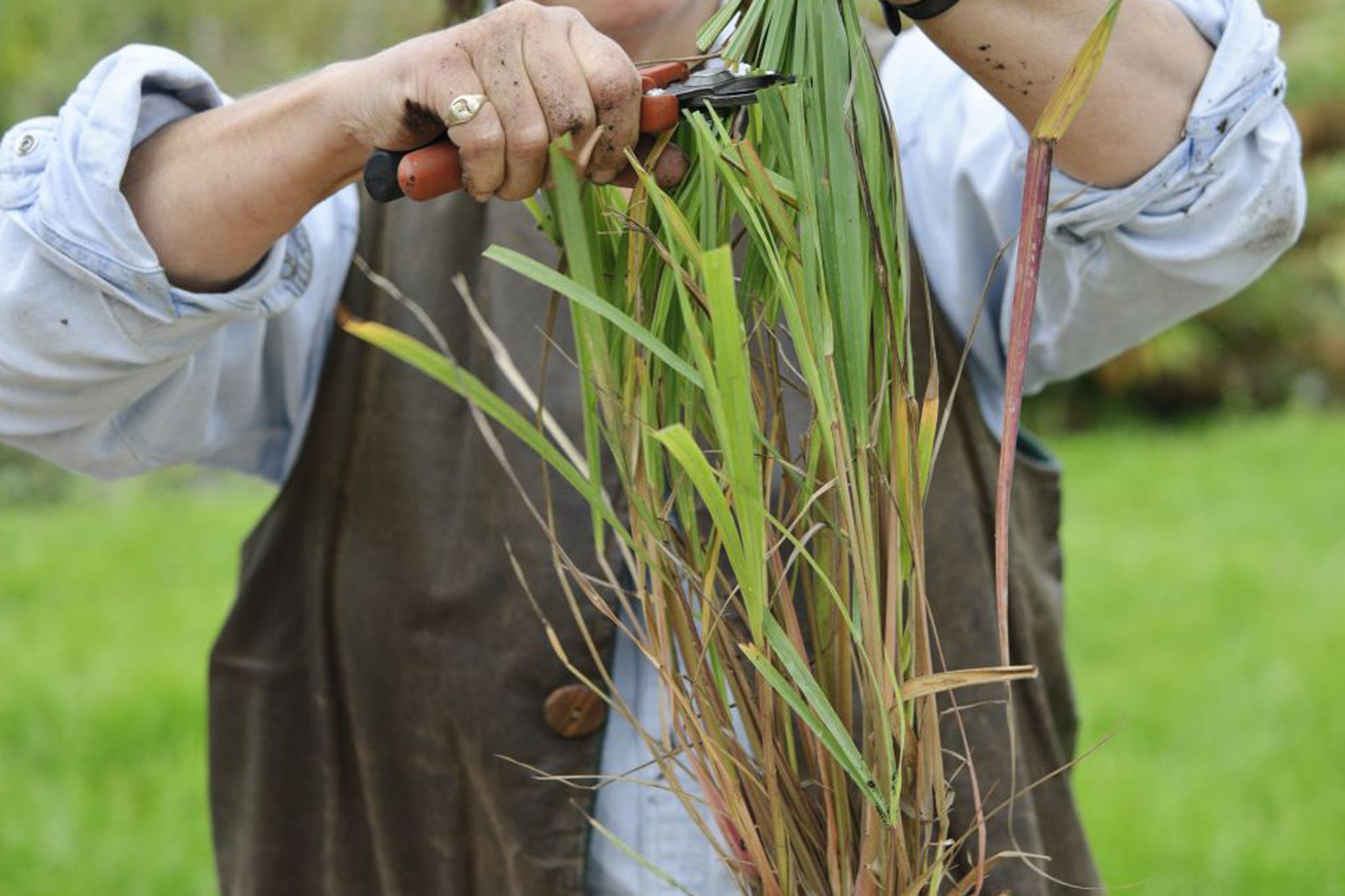 trim-the-lemongrass-2