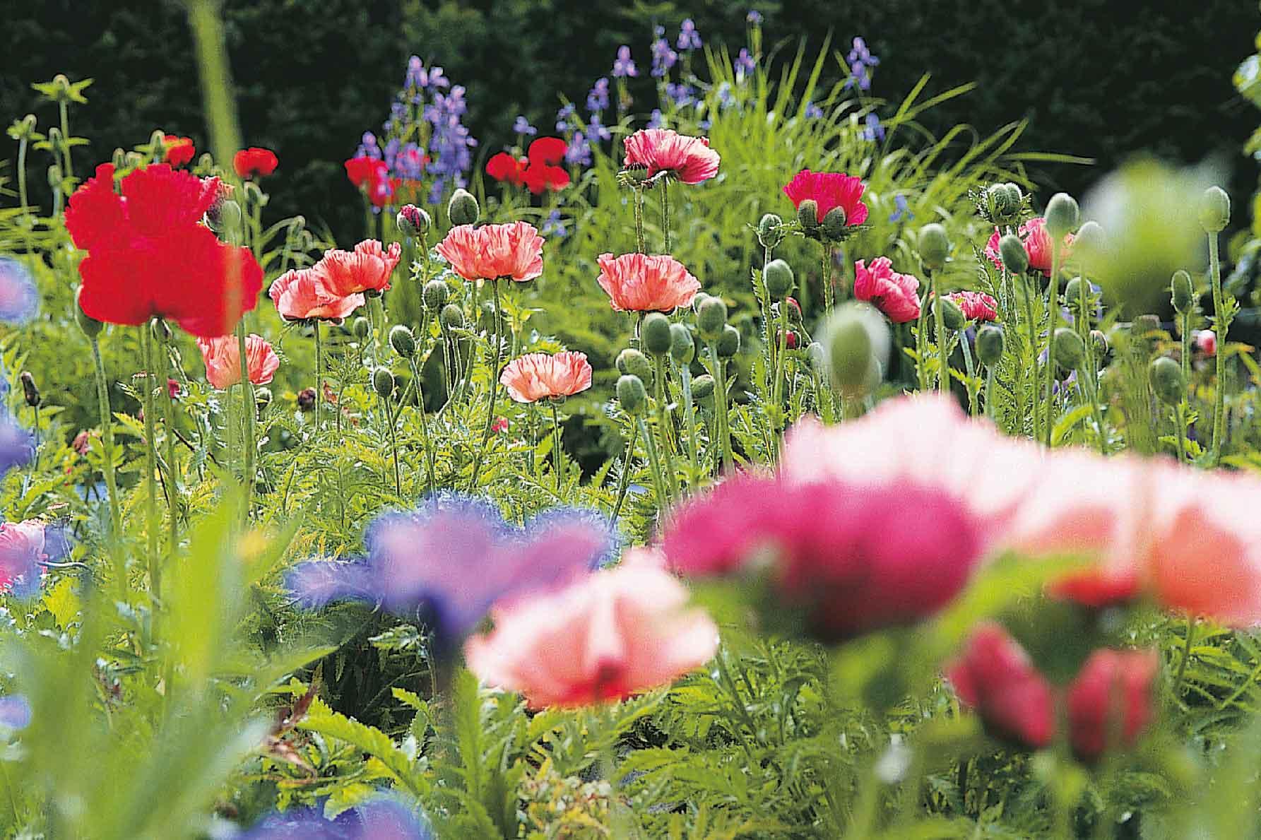 10 Oriental Poppies To Grow Gardenersworld