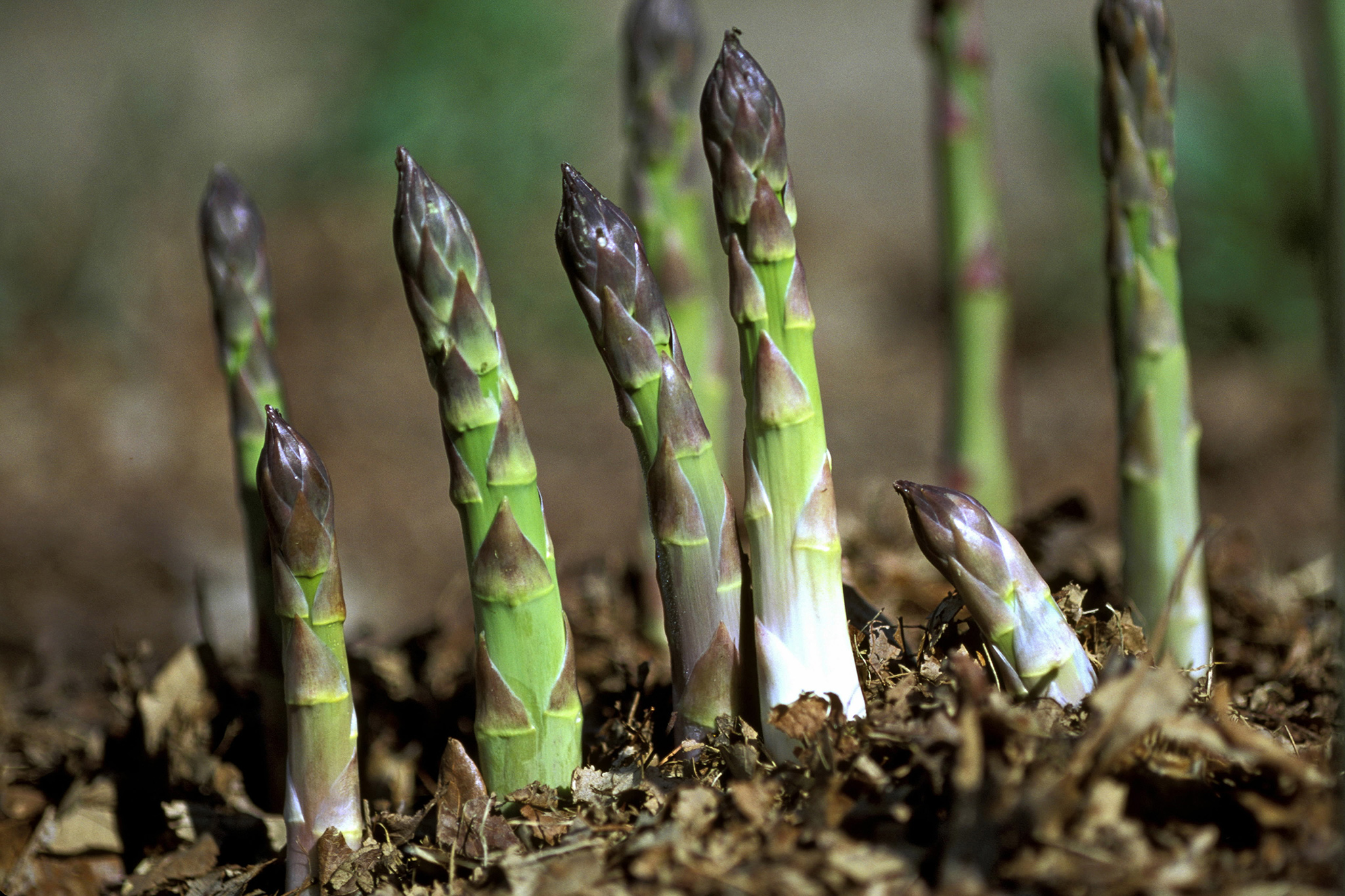 asparagus-credit-getty-images-4