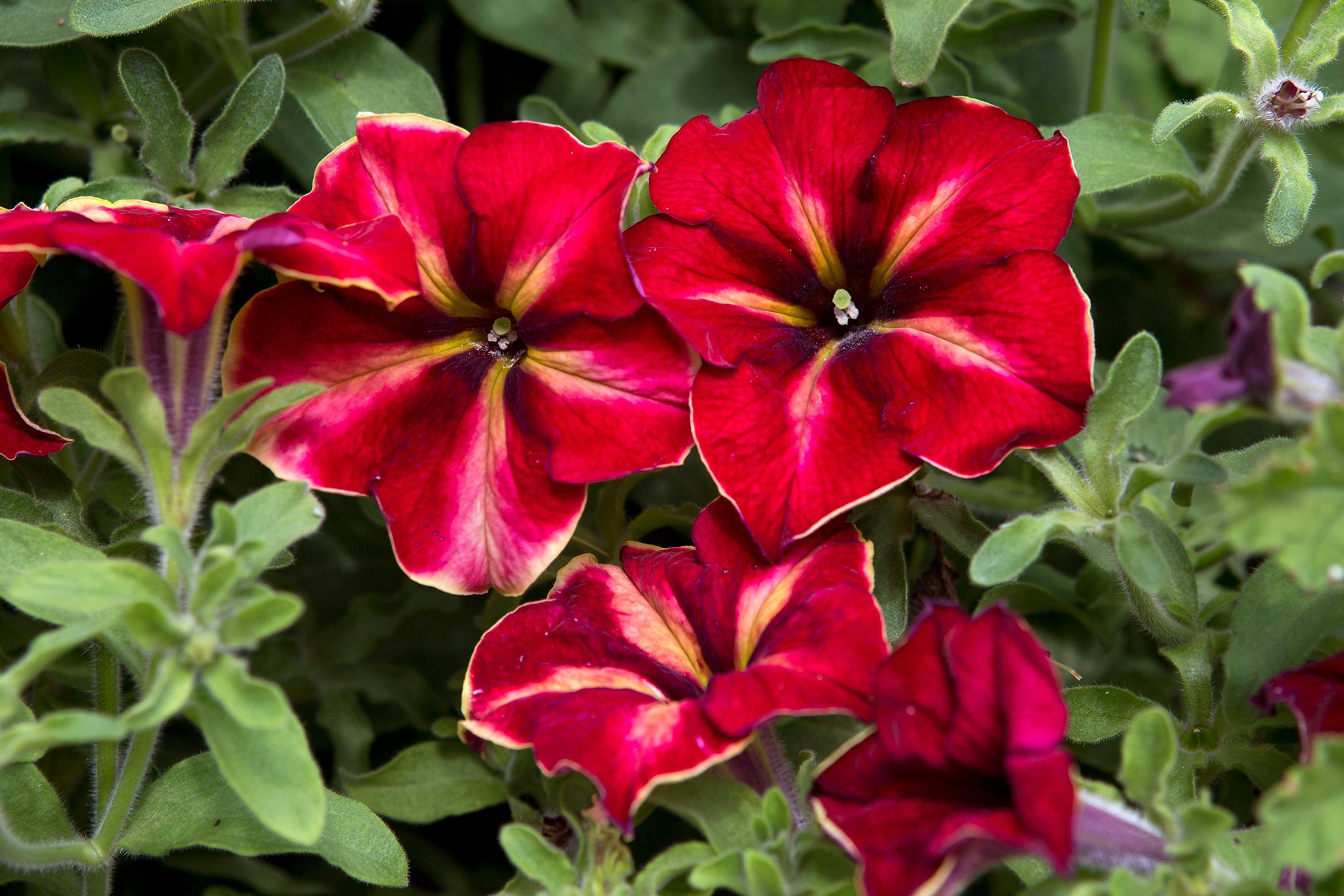 red-petunias-3