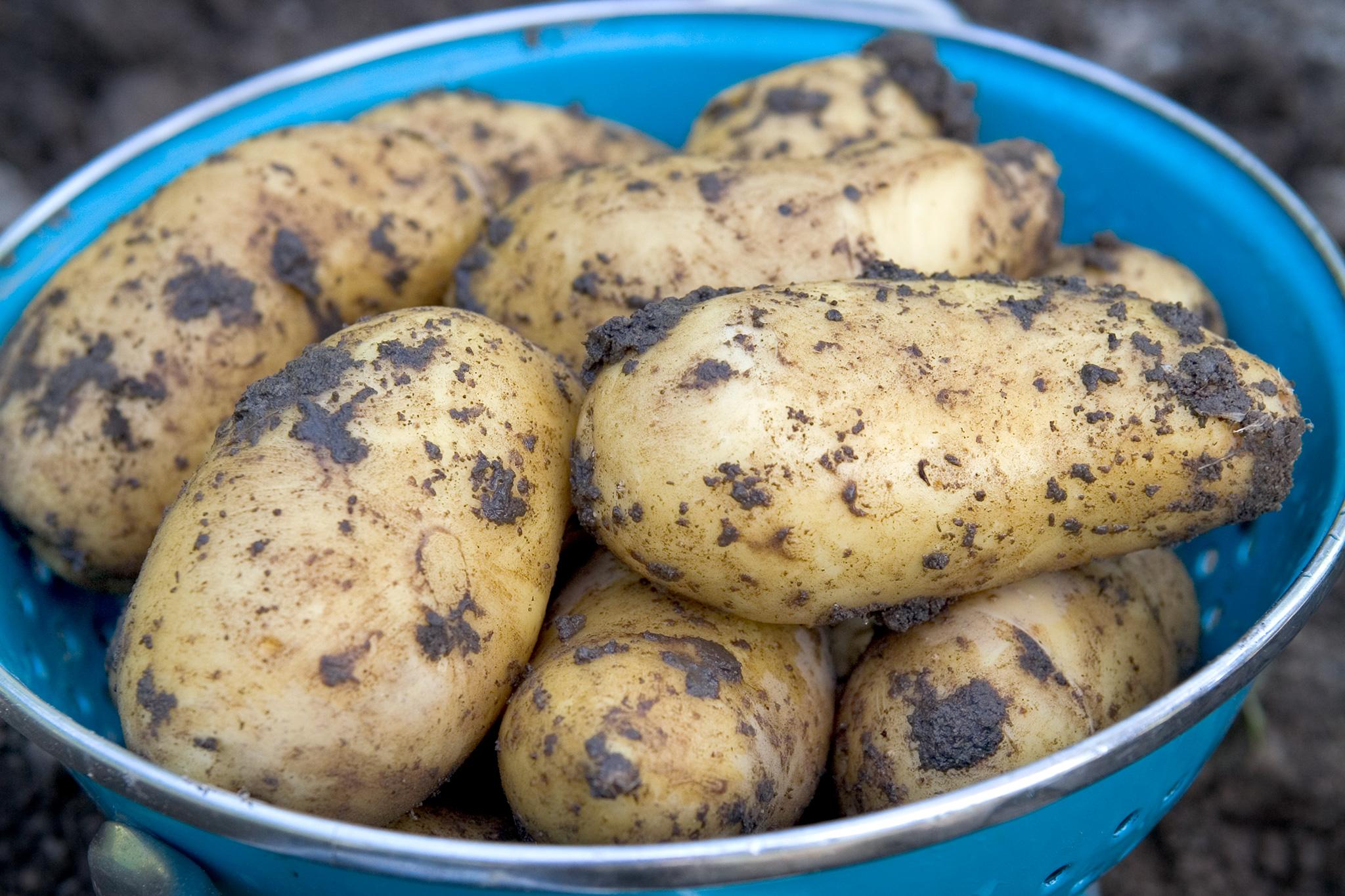 Harvested maincrop potatoes