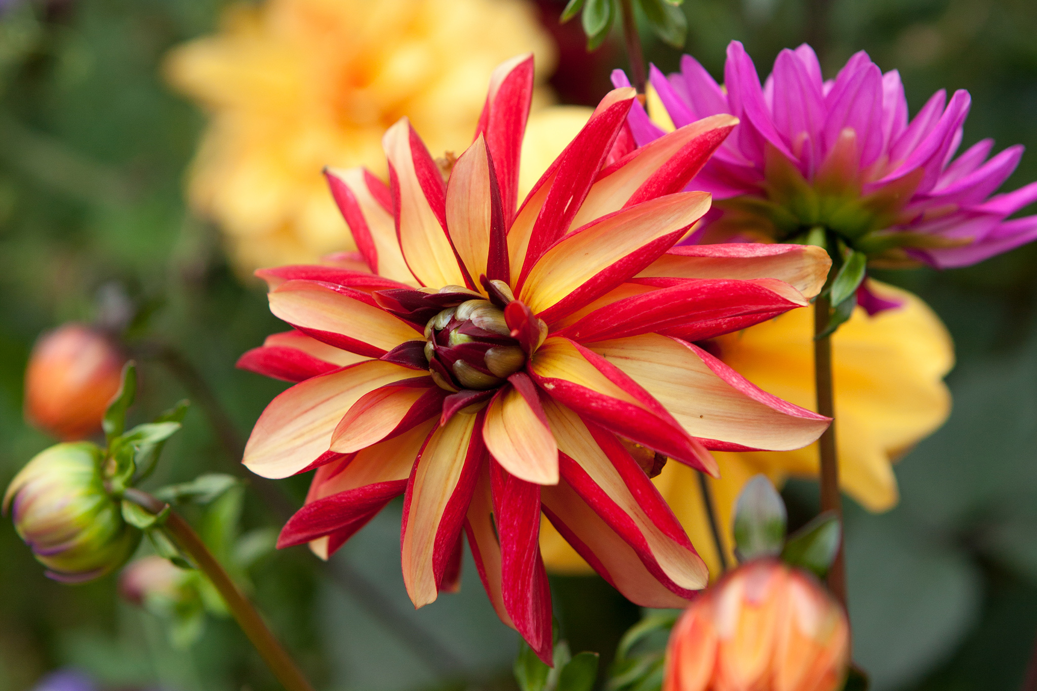dahlia-julie-one-4