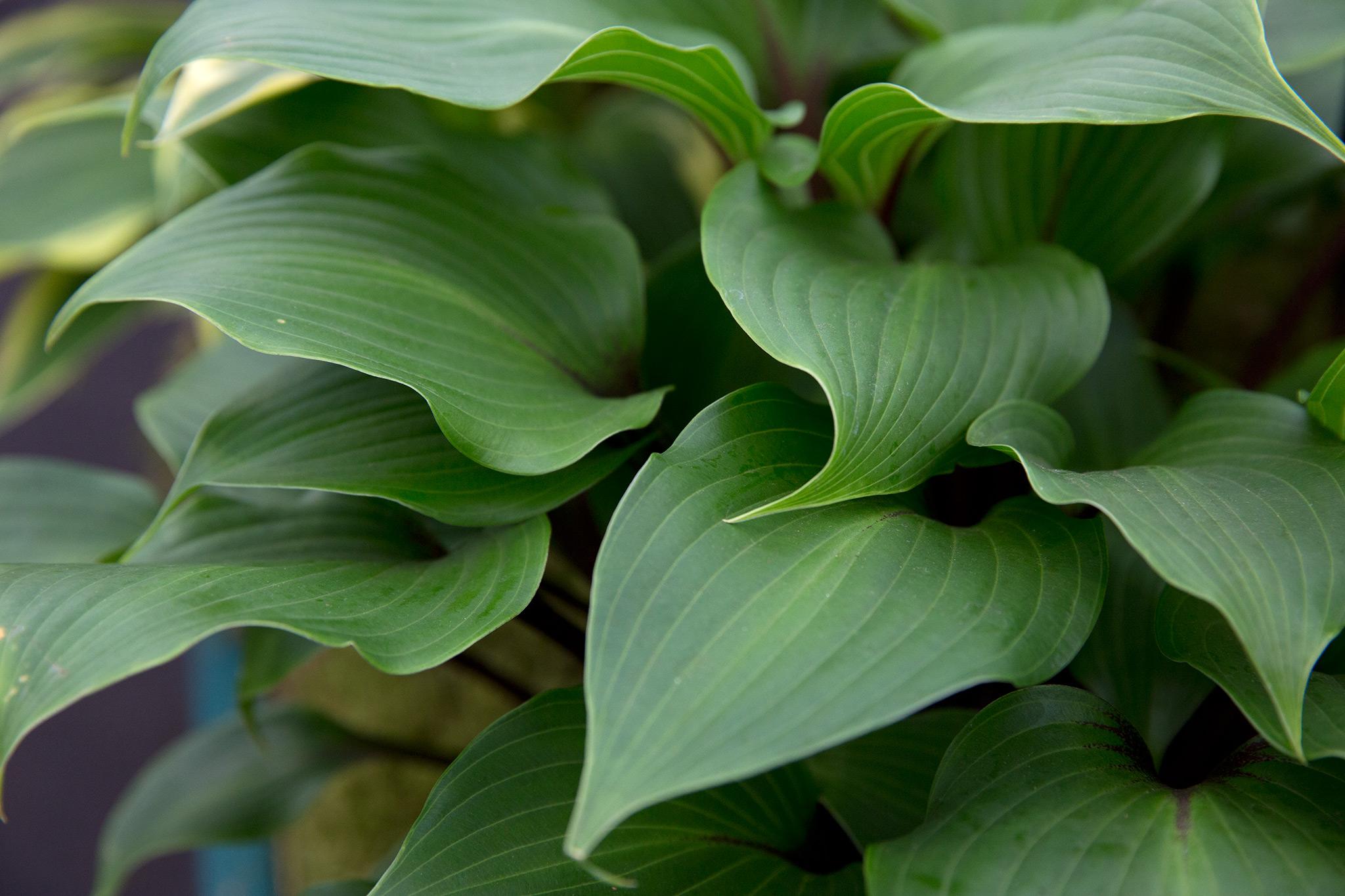 hosta-foliage-2