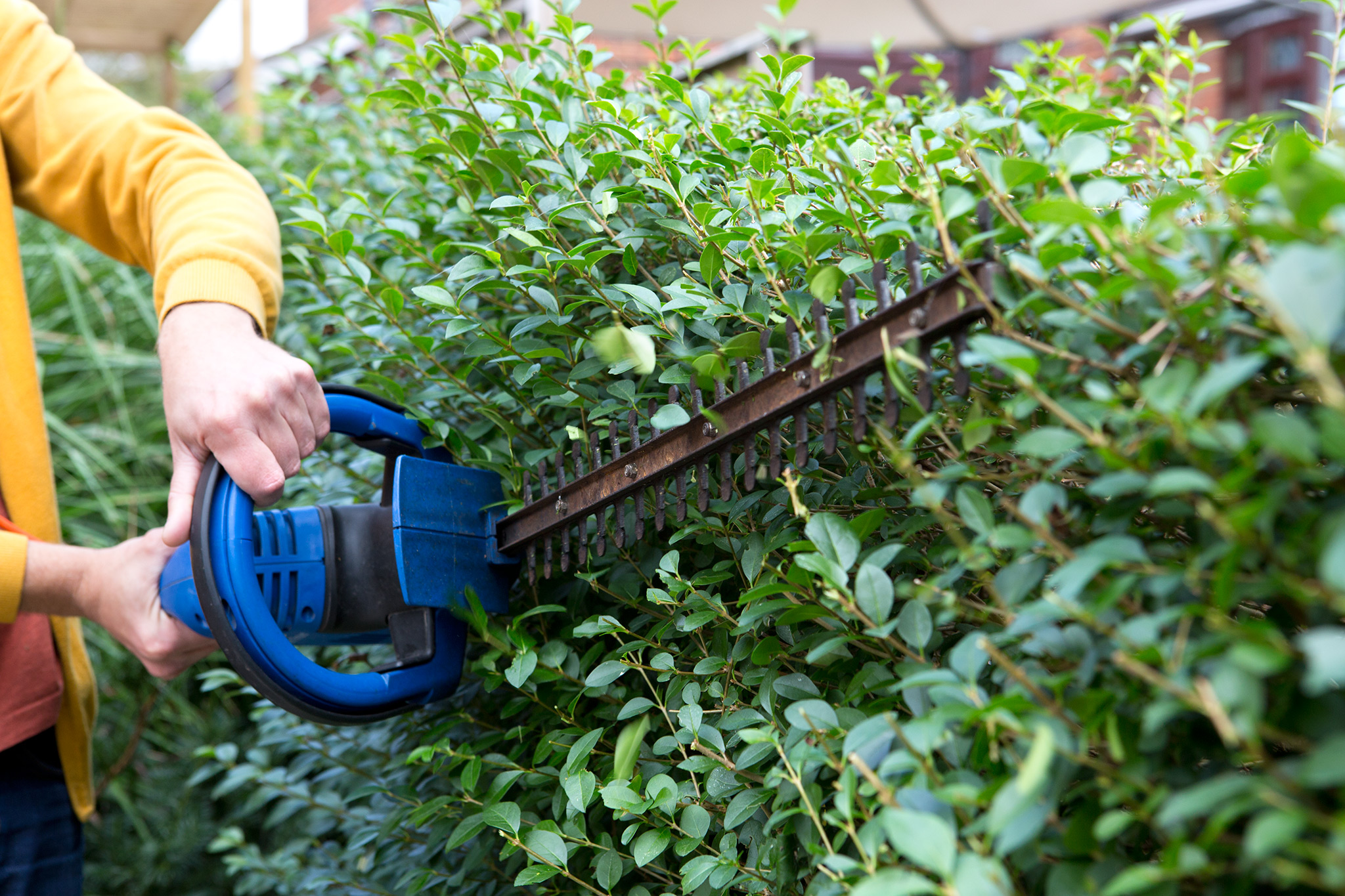 trimming-a-privet-hedge-2